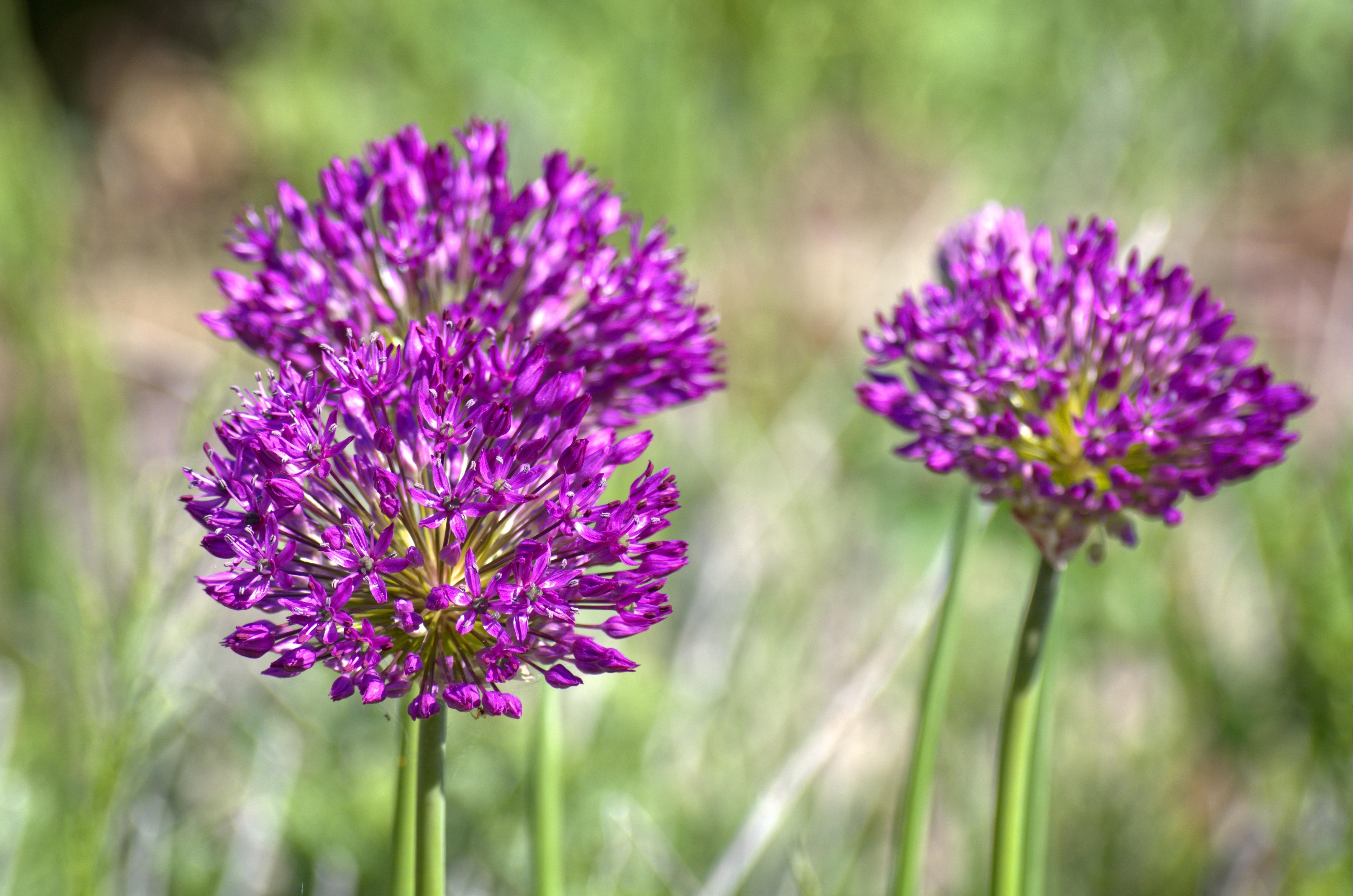 bakgrundsbilder natur ng pr rie lila v r rt producera gr nsak botanik flora. Black Bedroom Furniture Sets. Home Design Ideas