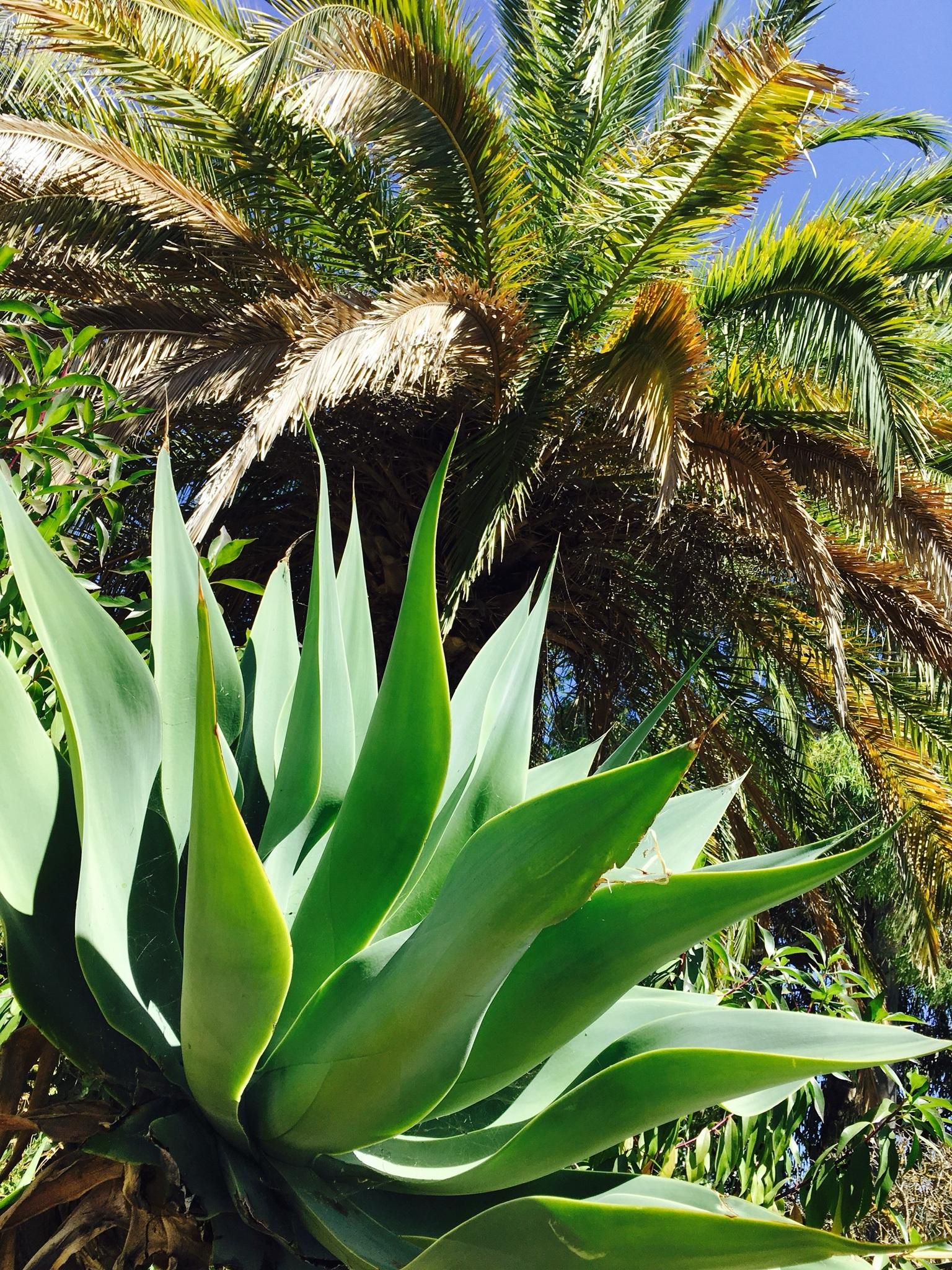 Aloe In Giardino immagini belle : natura, palma, fiore, palma, fabbrica