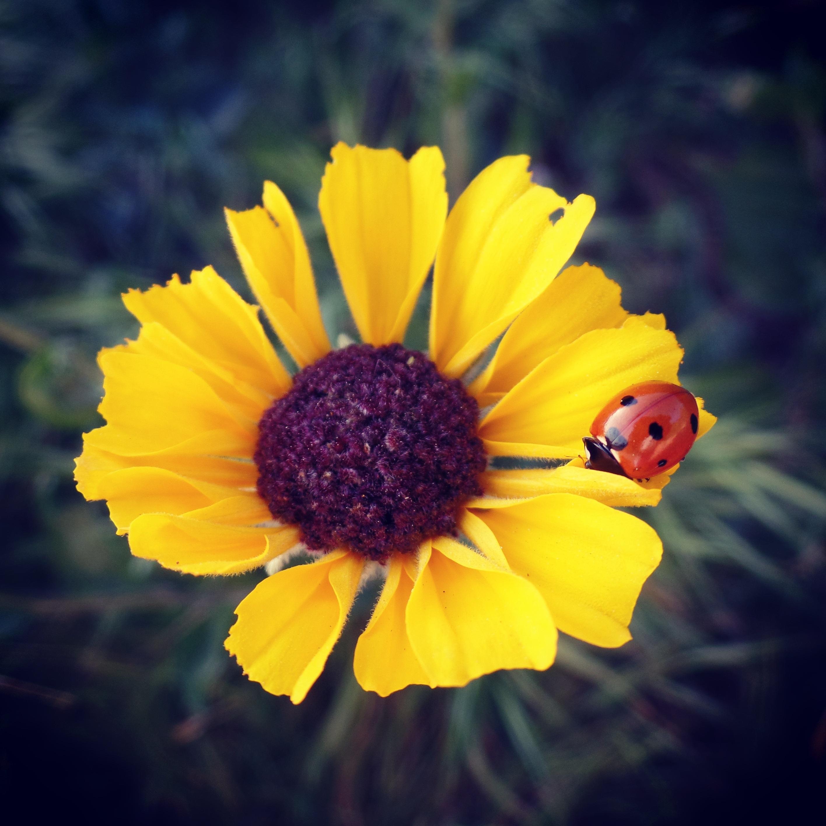 Fotos gratis naturaleza fotograf a p talo primavera - Coccinella foto gratis ...
