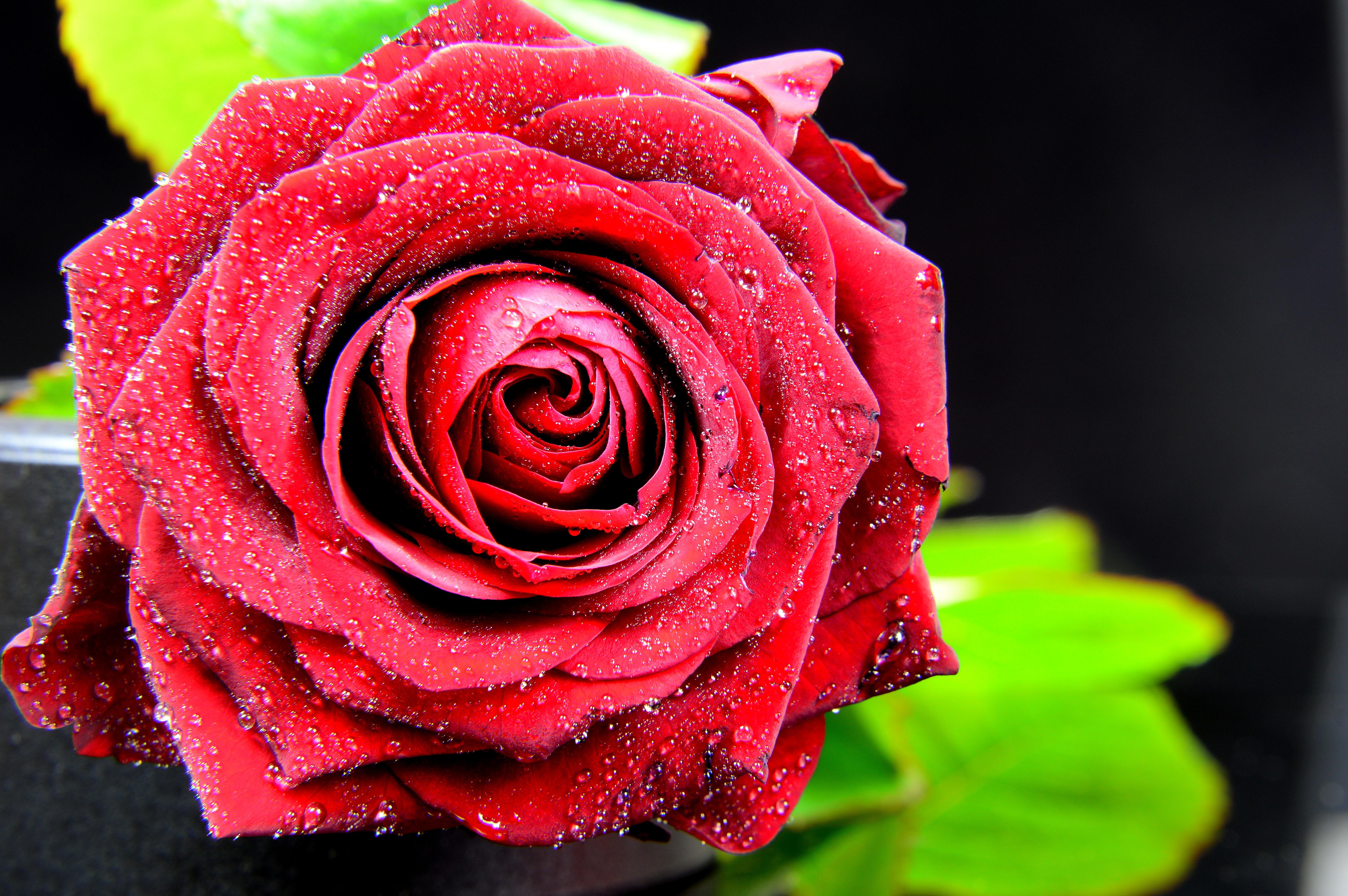 Все про розы с картинками