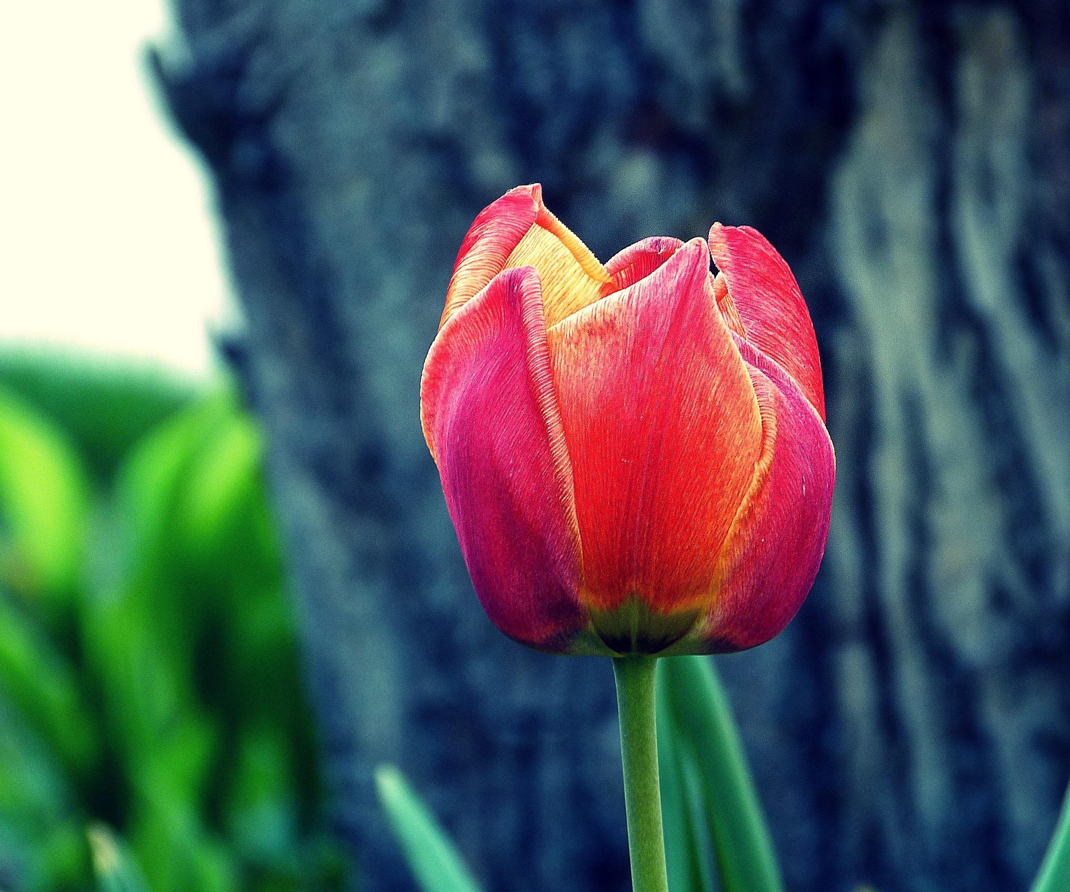 Free Images : nature, petal, tulip, color, garden, flora, flowers ...