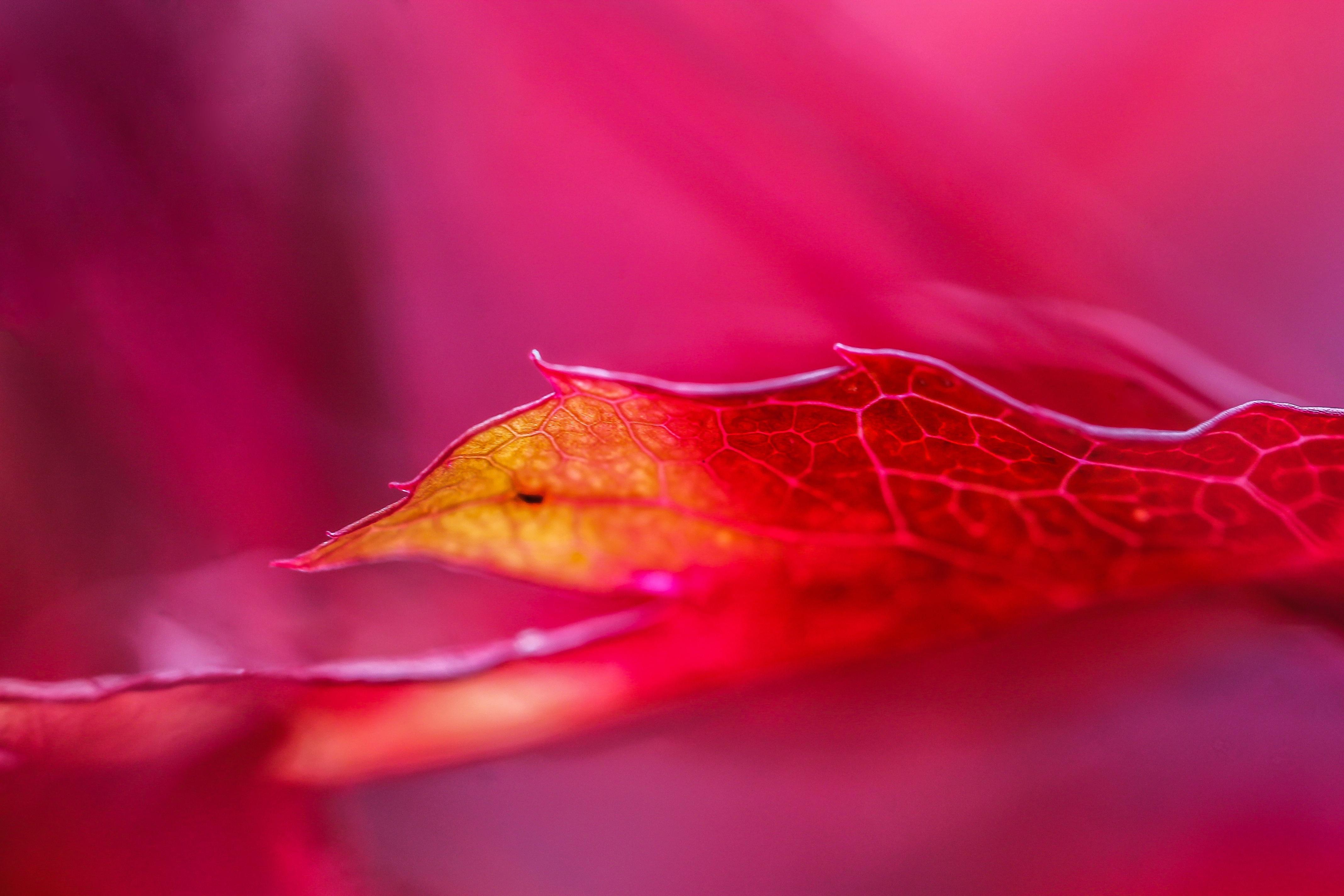 Free Images : nature, flower, petal, red, color, pink, flora, maple ...