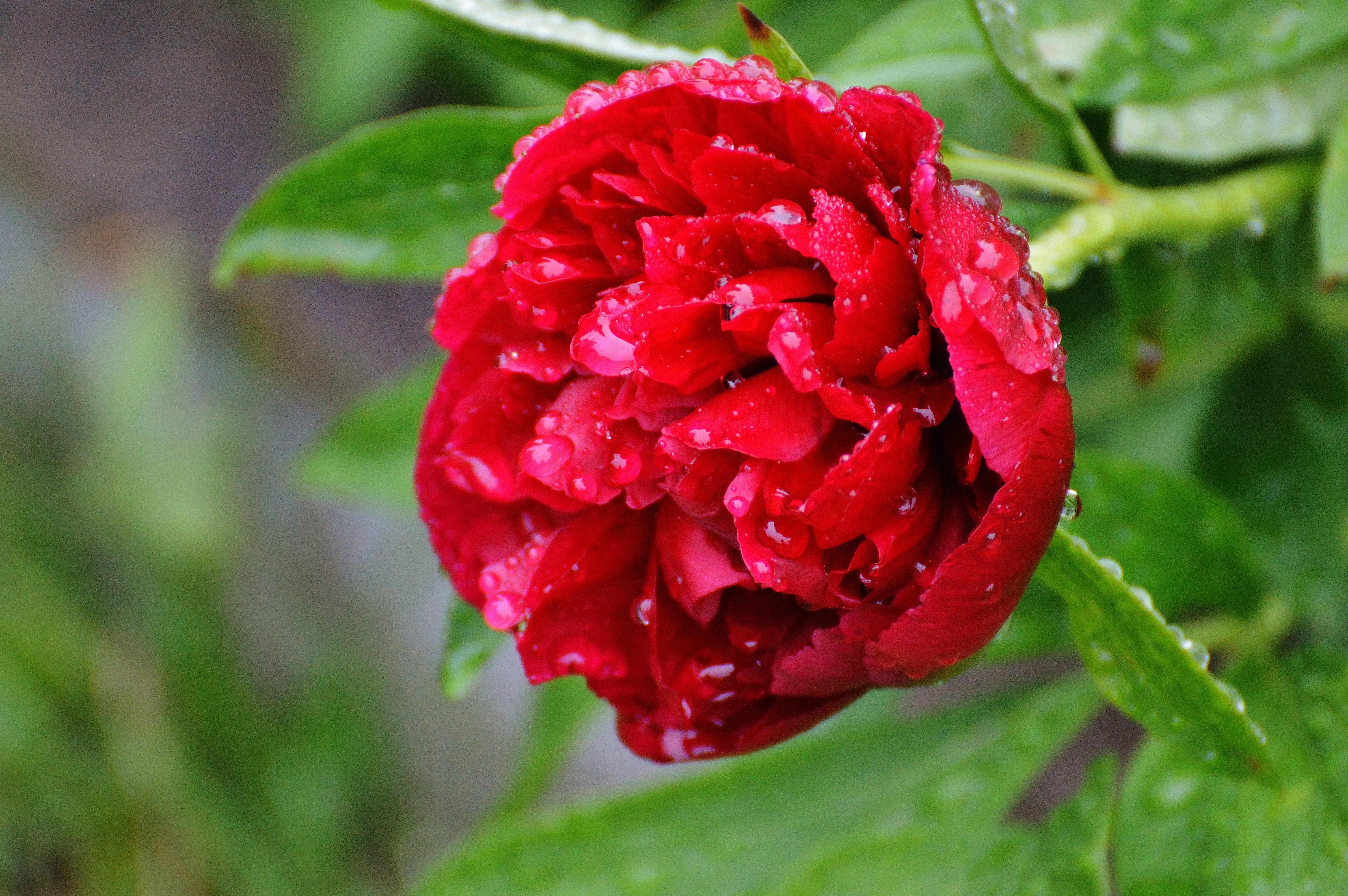 images gratuites la nature fleur p tale goutte de pluie rouge macro flore goutte d 39 eau. Black Bedroom Furniture Sets. Home Design Ideas
