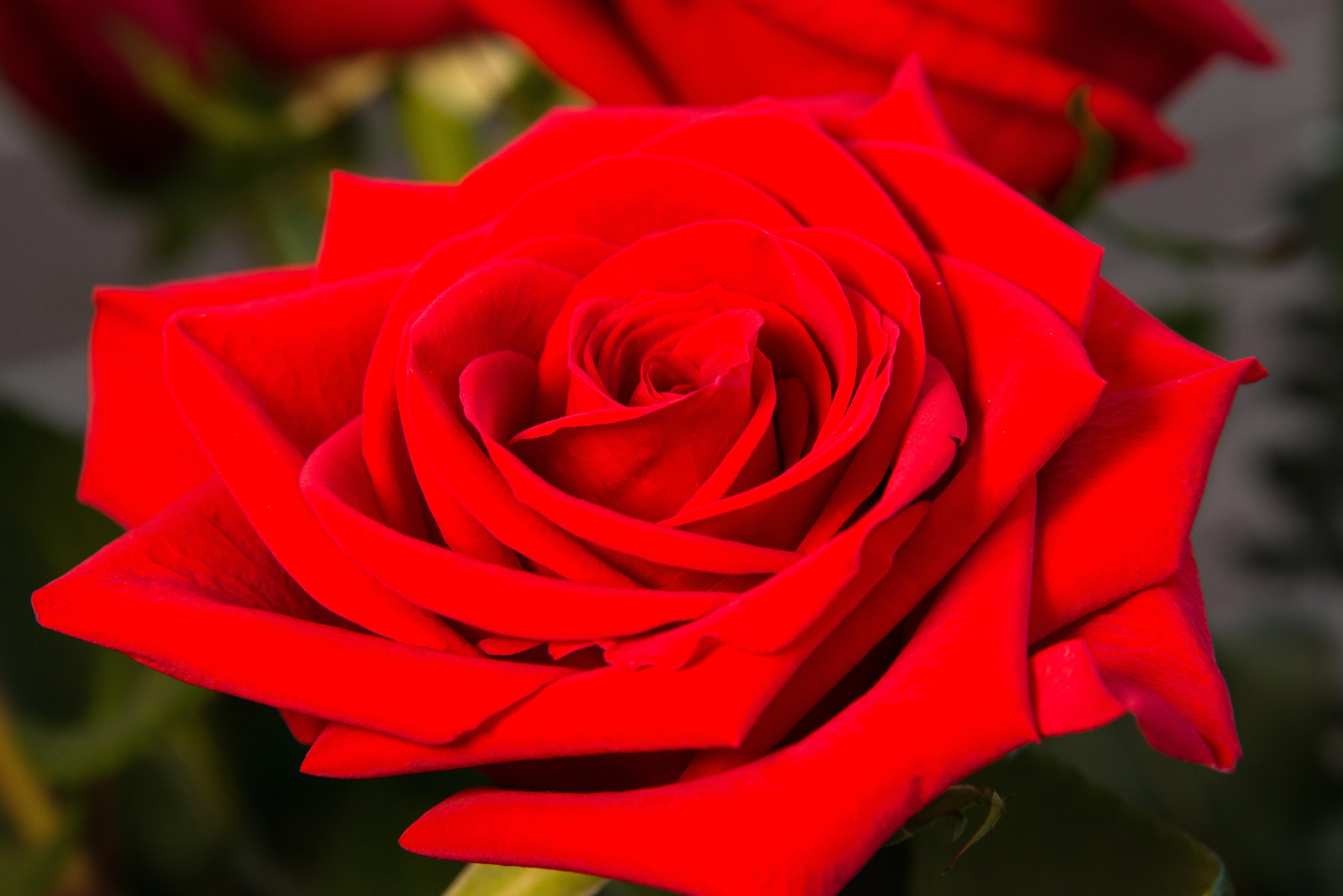 справочные картинка красный цветок большой рассказал источник близких