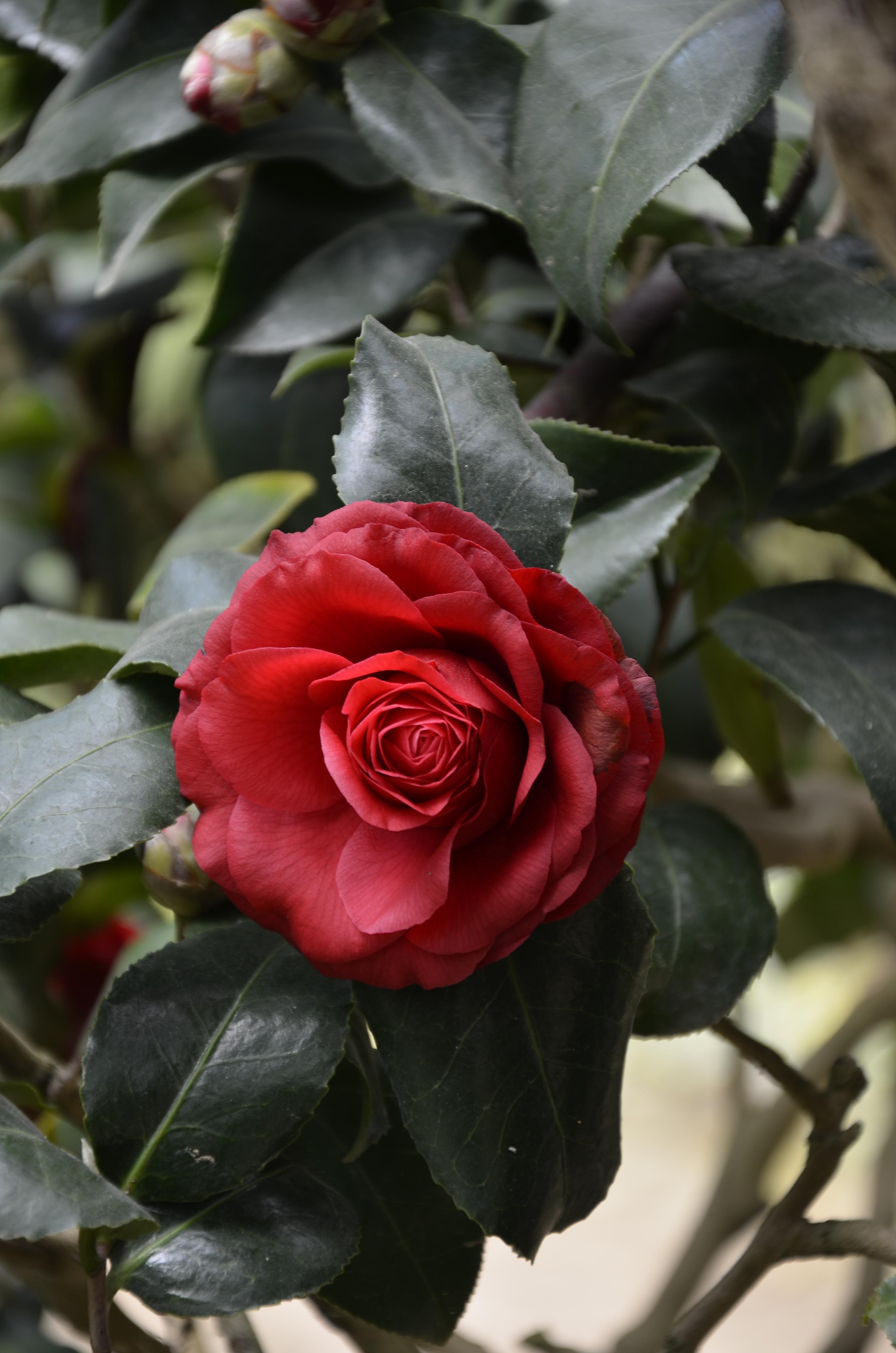 Garden Bush: Free Images : Nature, Stem, Flower, Petal, Floral, Spring