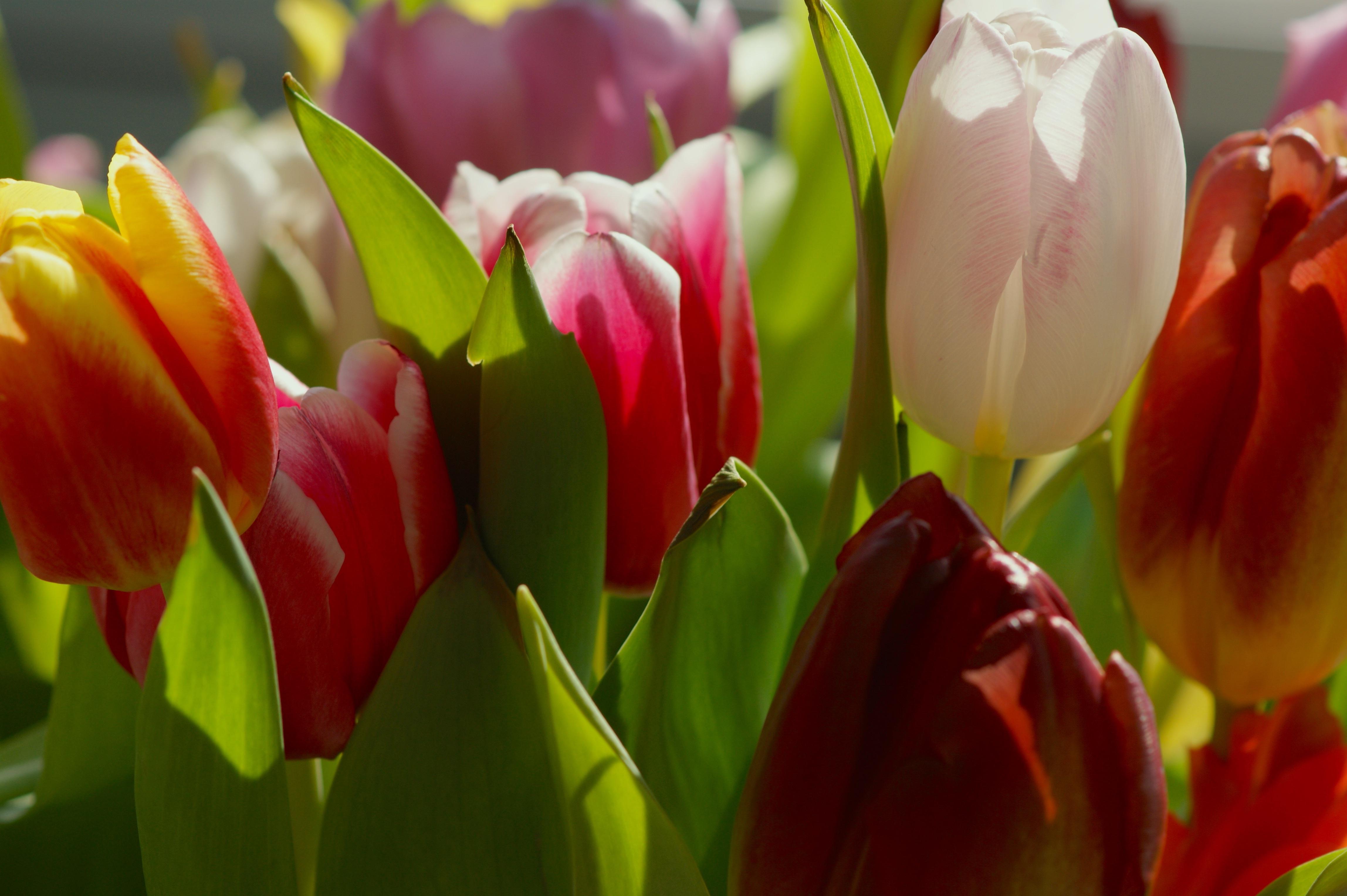буксировать спасенное красивые тюльпаны очень фото частицы мощей убиенных