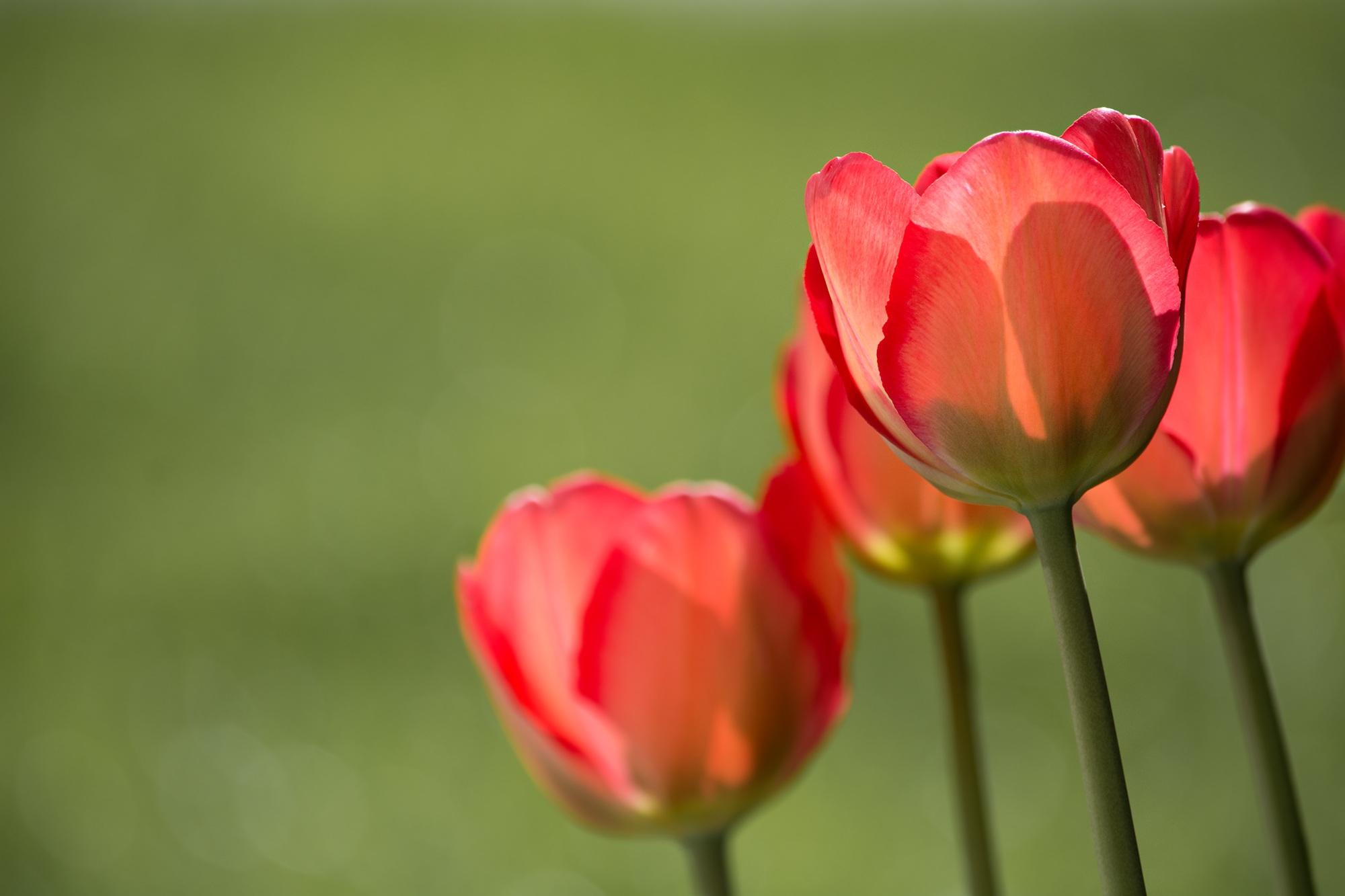 Free images nature sunlight petal tulip close flower garden nature plant sunlight flower petal tulip red garden close flowers tulips flower garden spring flower macro mightylinksfo