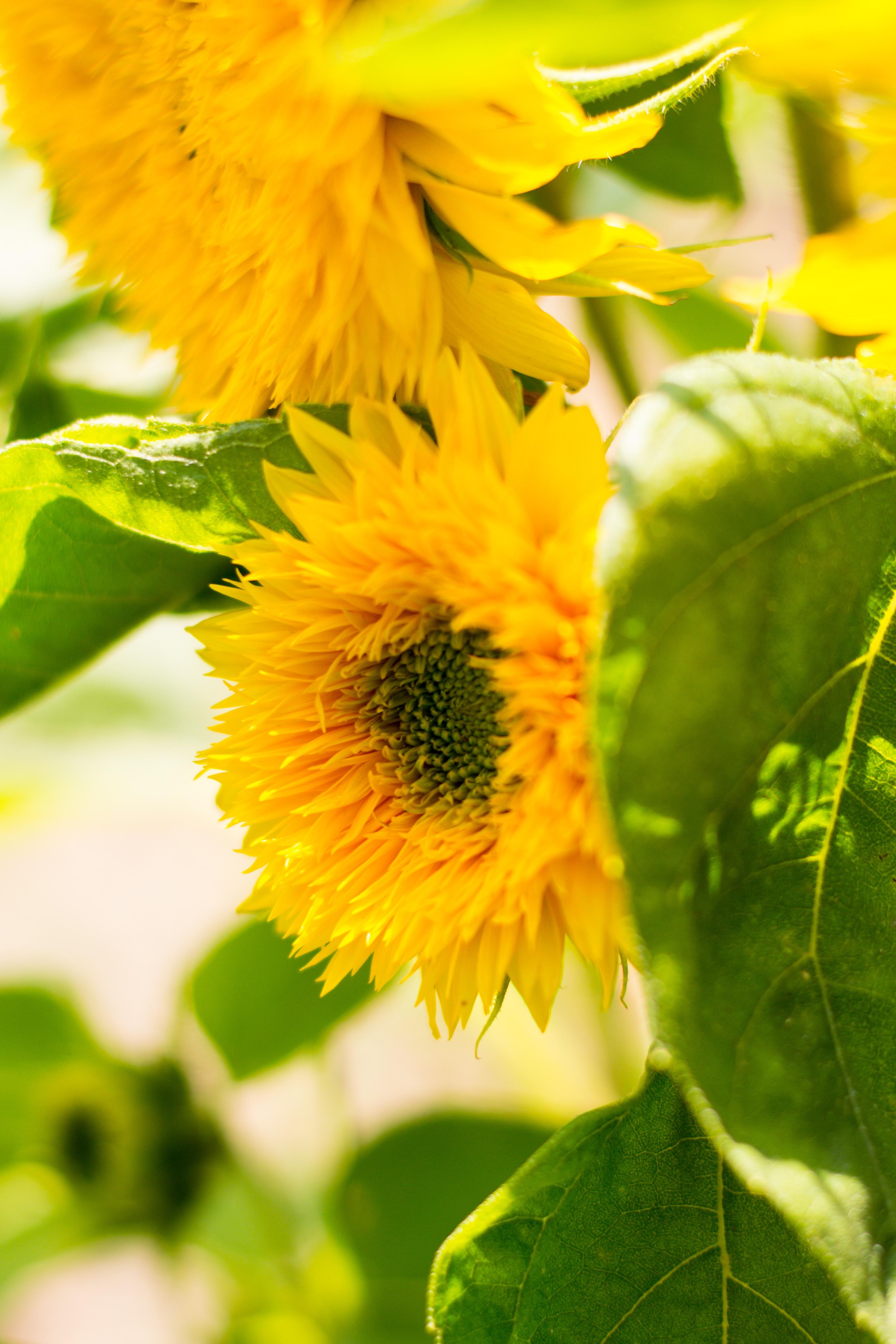 Images gratuites la nature lumi re du soleil feuille fleur p tale floraison t vert - Fleur du soleil ...