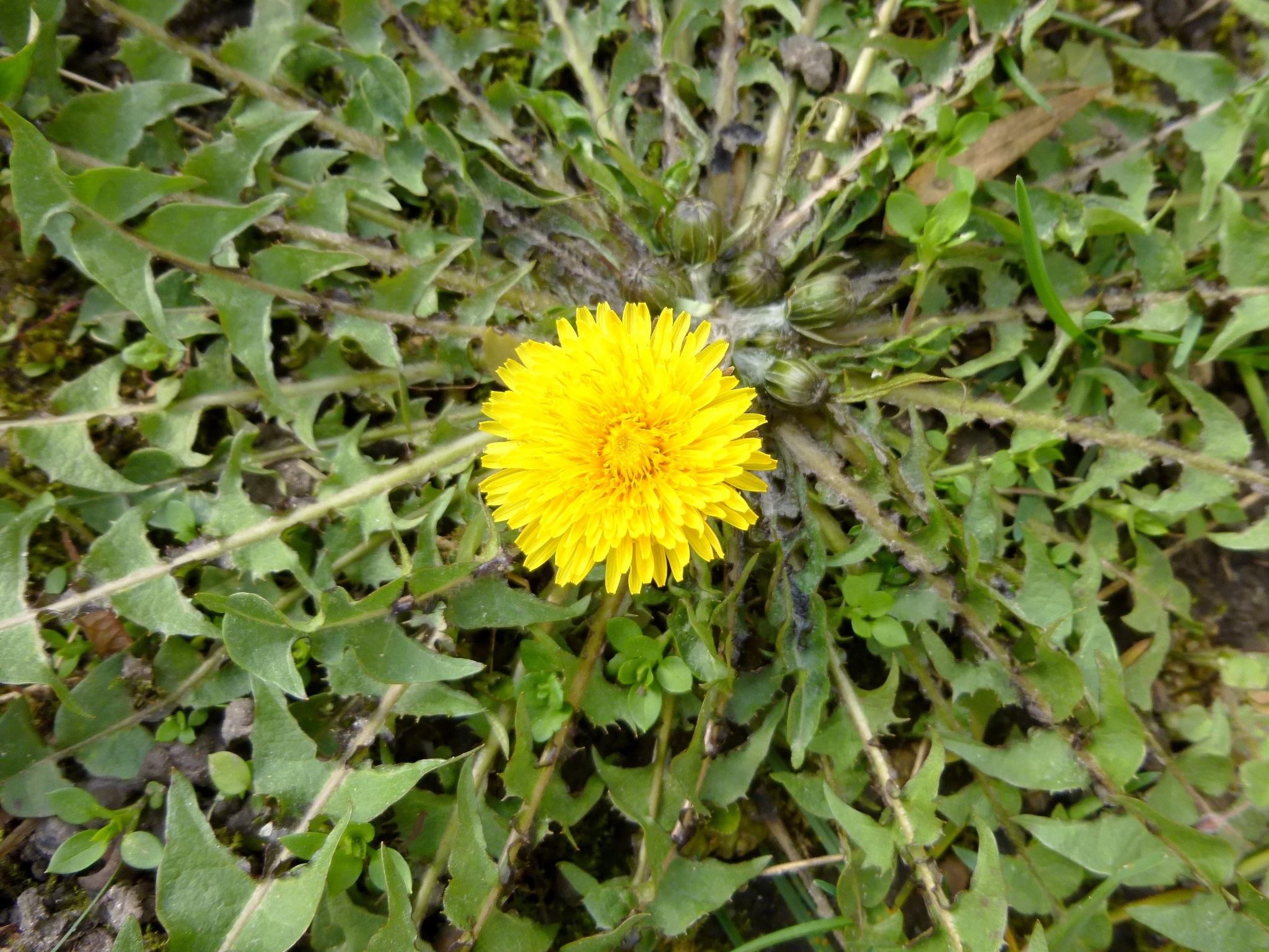 Free Images Nature Sunshine Dandelion Leaf Botany Flora