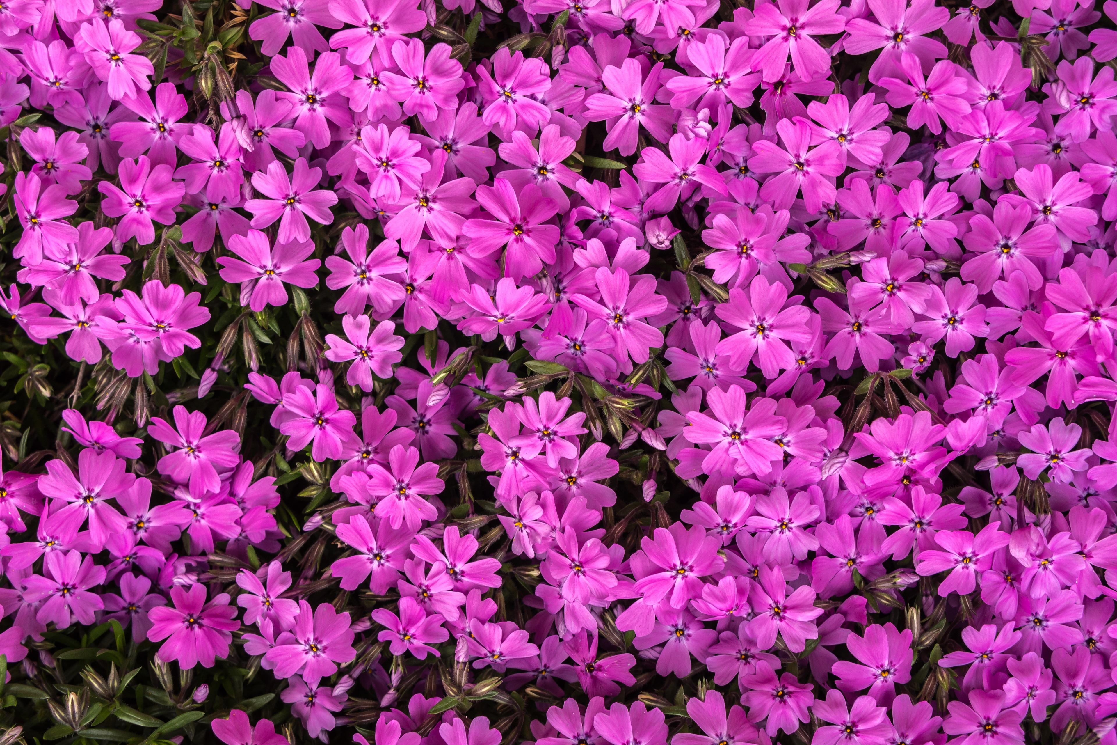 Травянистый кустарник с розовыми цветами