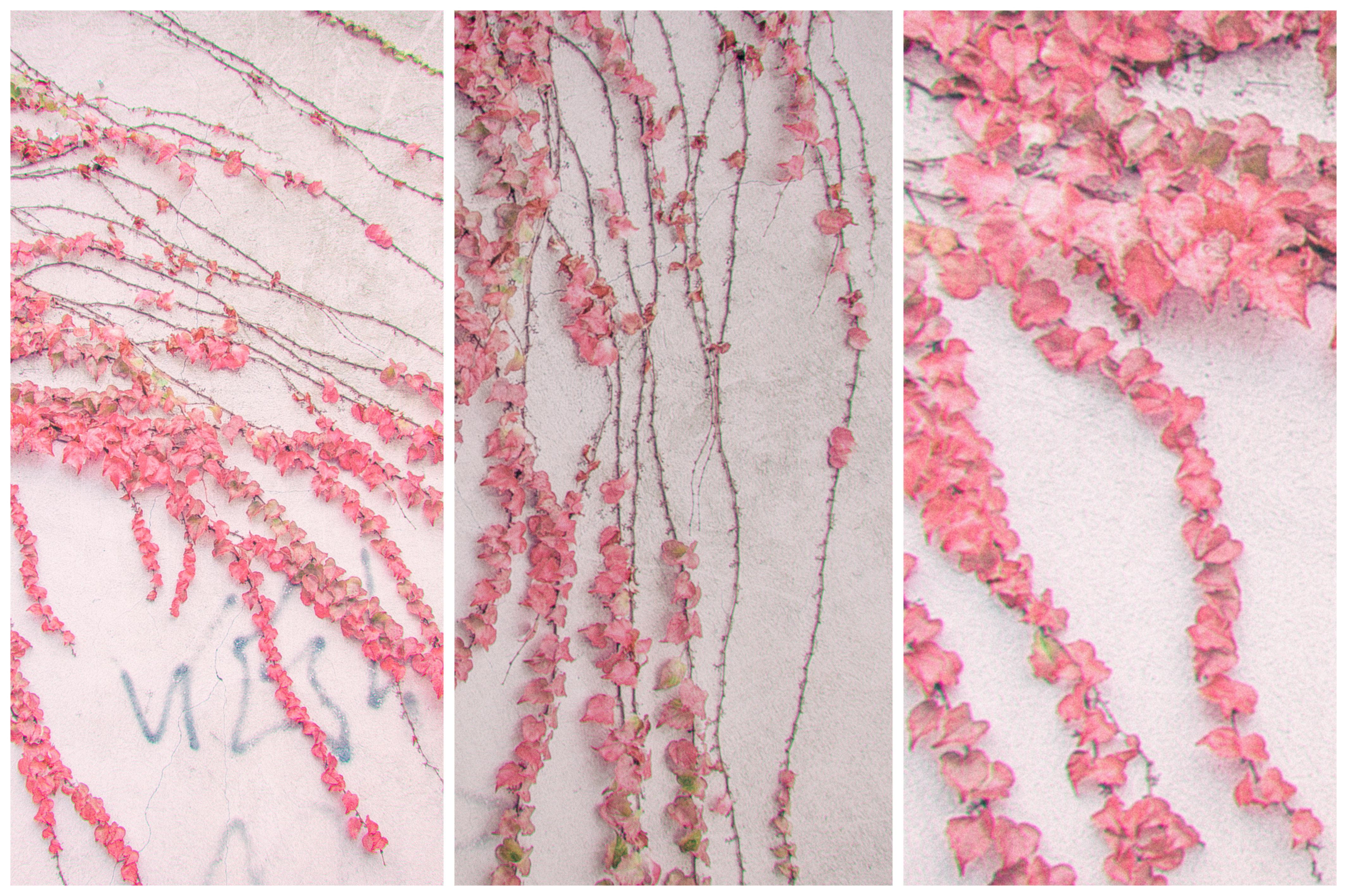 Kostenlose foto : Natur, Pflanze, Mauer, Muster, Efeu, Herbst ...
