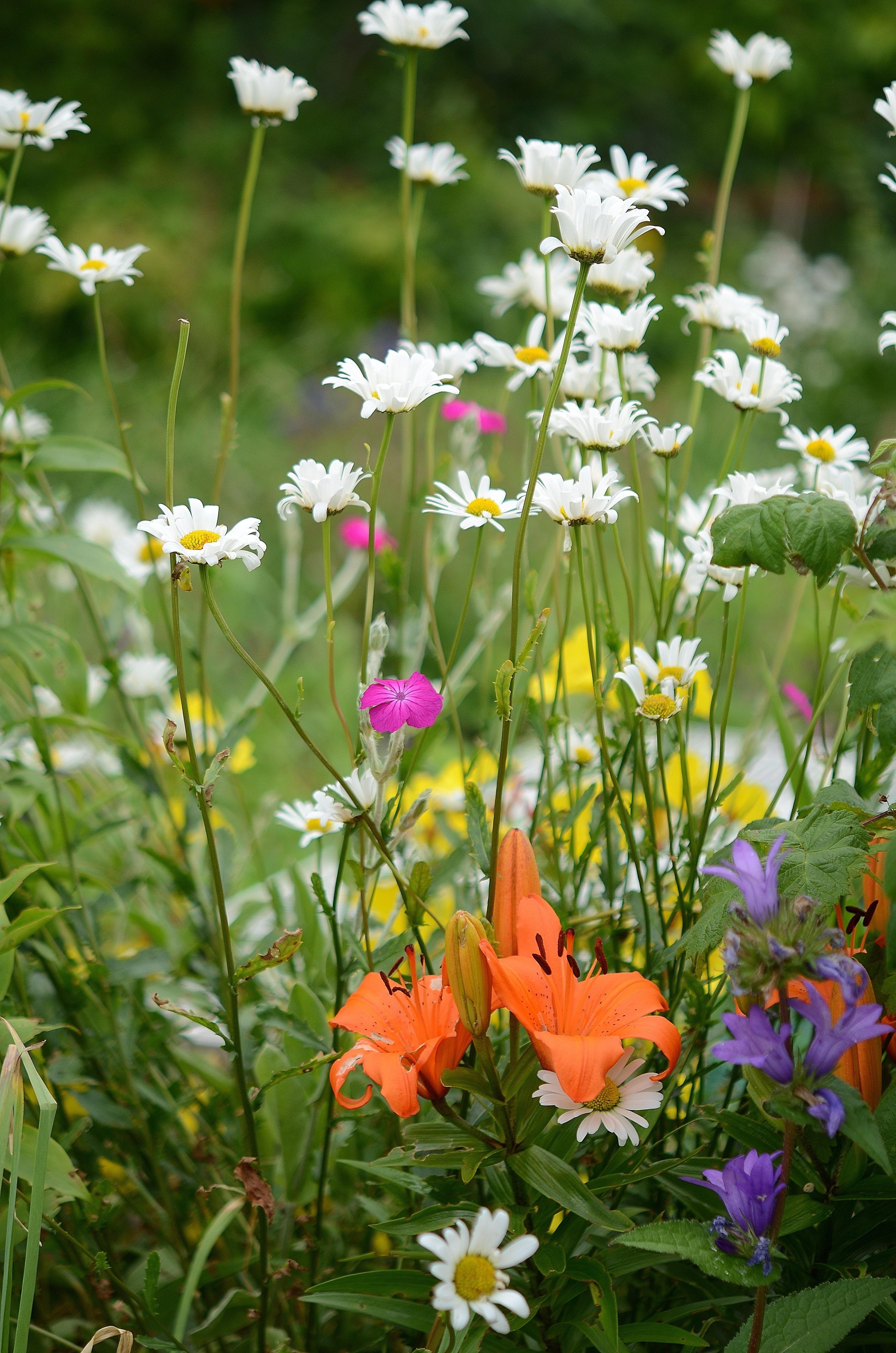 Kostenlose foto : Natur, Weiß, Feld, Wiese, Prärie, Blatt, Blume ...