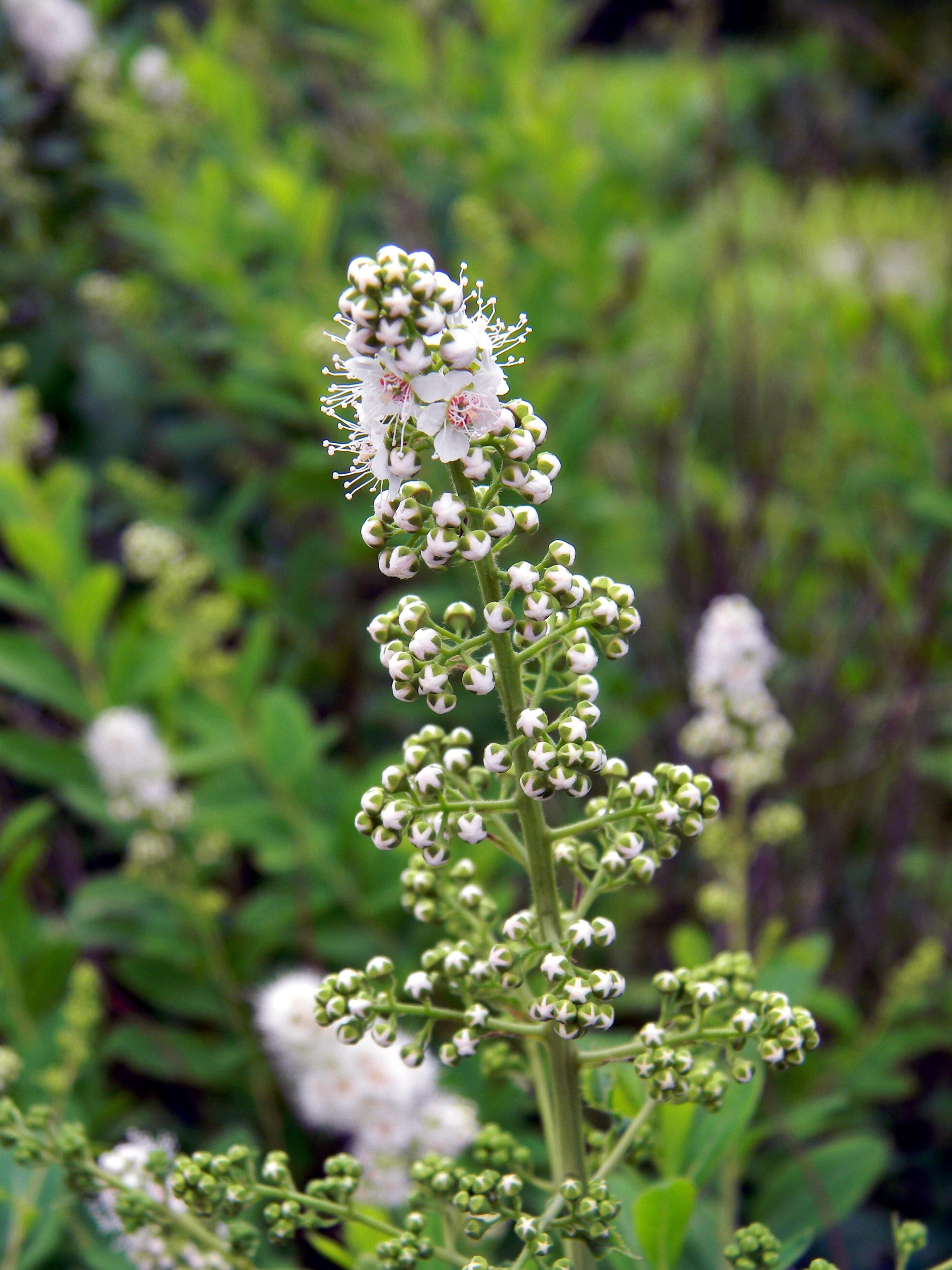 Free Images Nature Flower Bloom Bush Herb Macro Botany