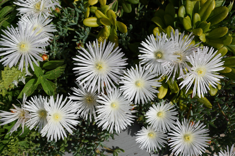 Free Images Nature White Flower Petal Botany Flora