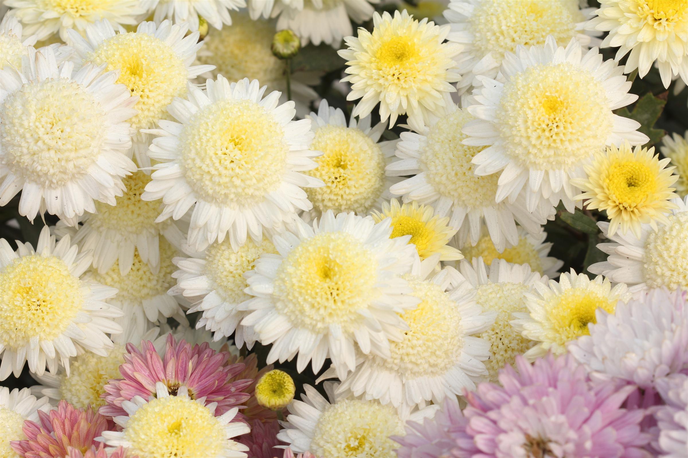 Показать цветы хризантемы в картинках просто