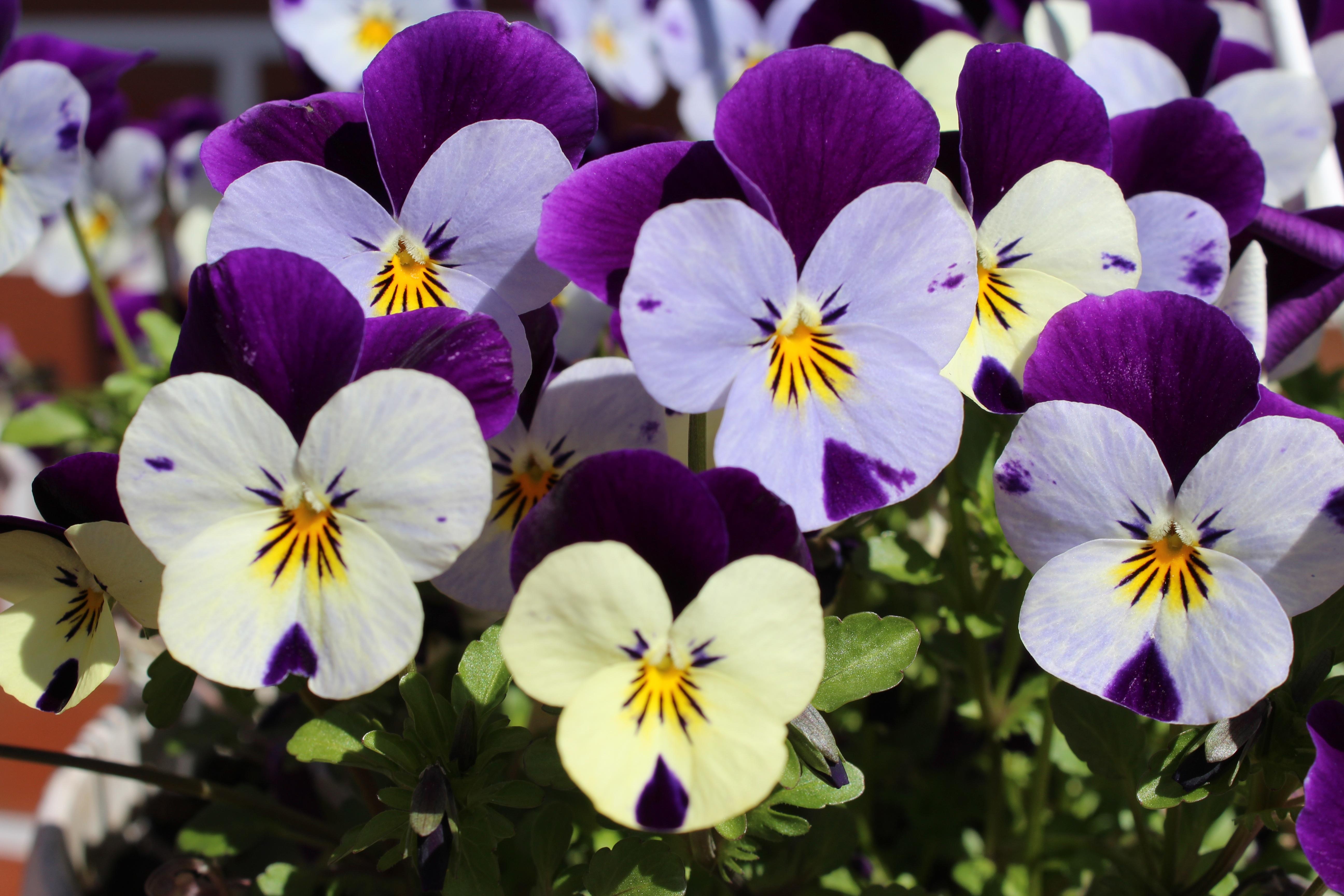 попали анютины глазки фото цветов хорошего разрешения форма британских