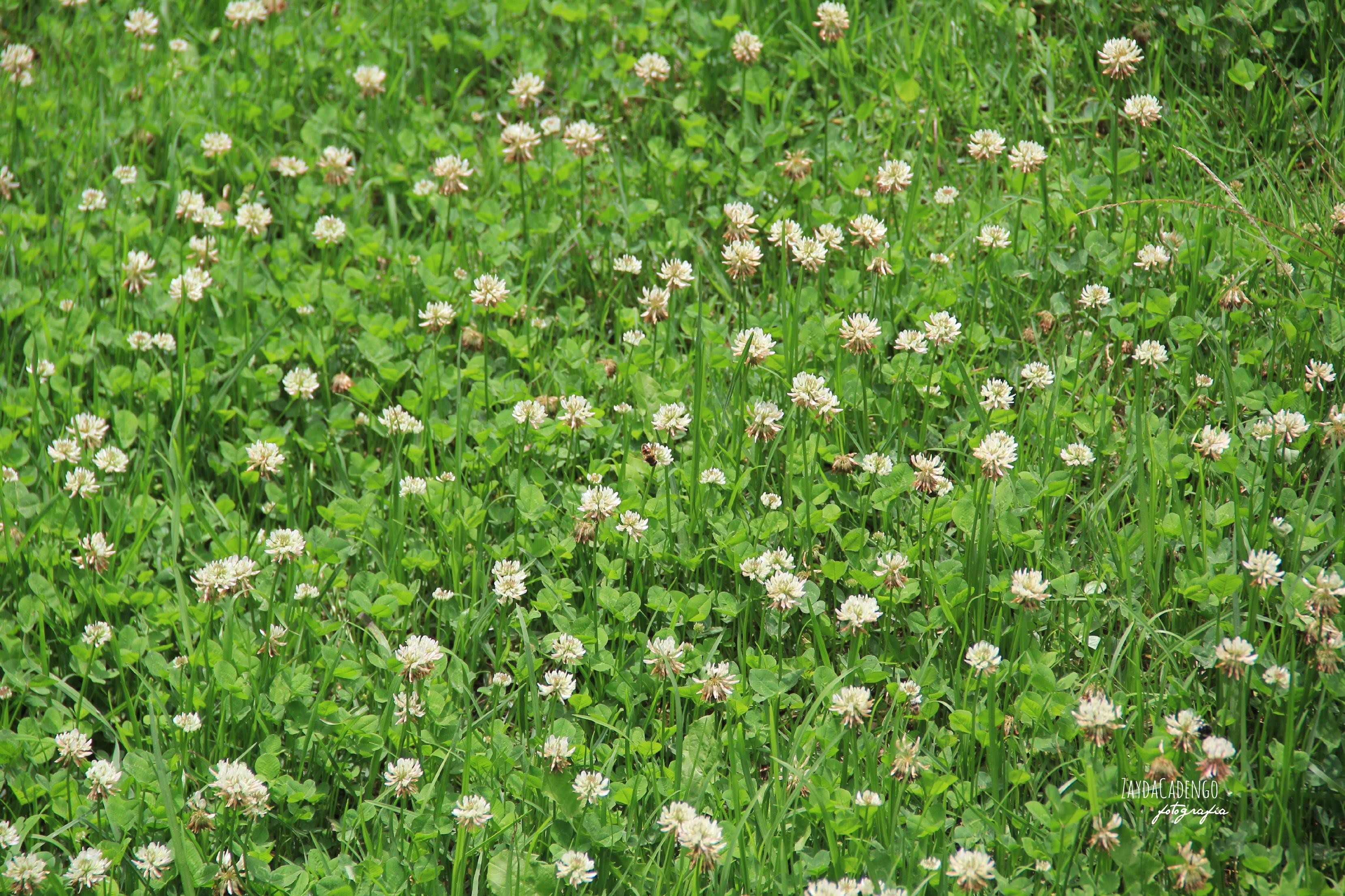 Free images nature white lawn meadow flower herb produce nature plant white lawn meadow flower spring herb produce garden flora plants wildflower flowers shrub pistil mightylinksfo