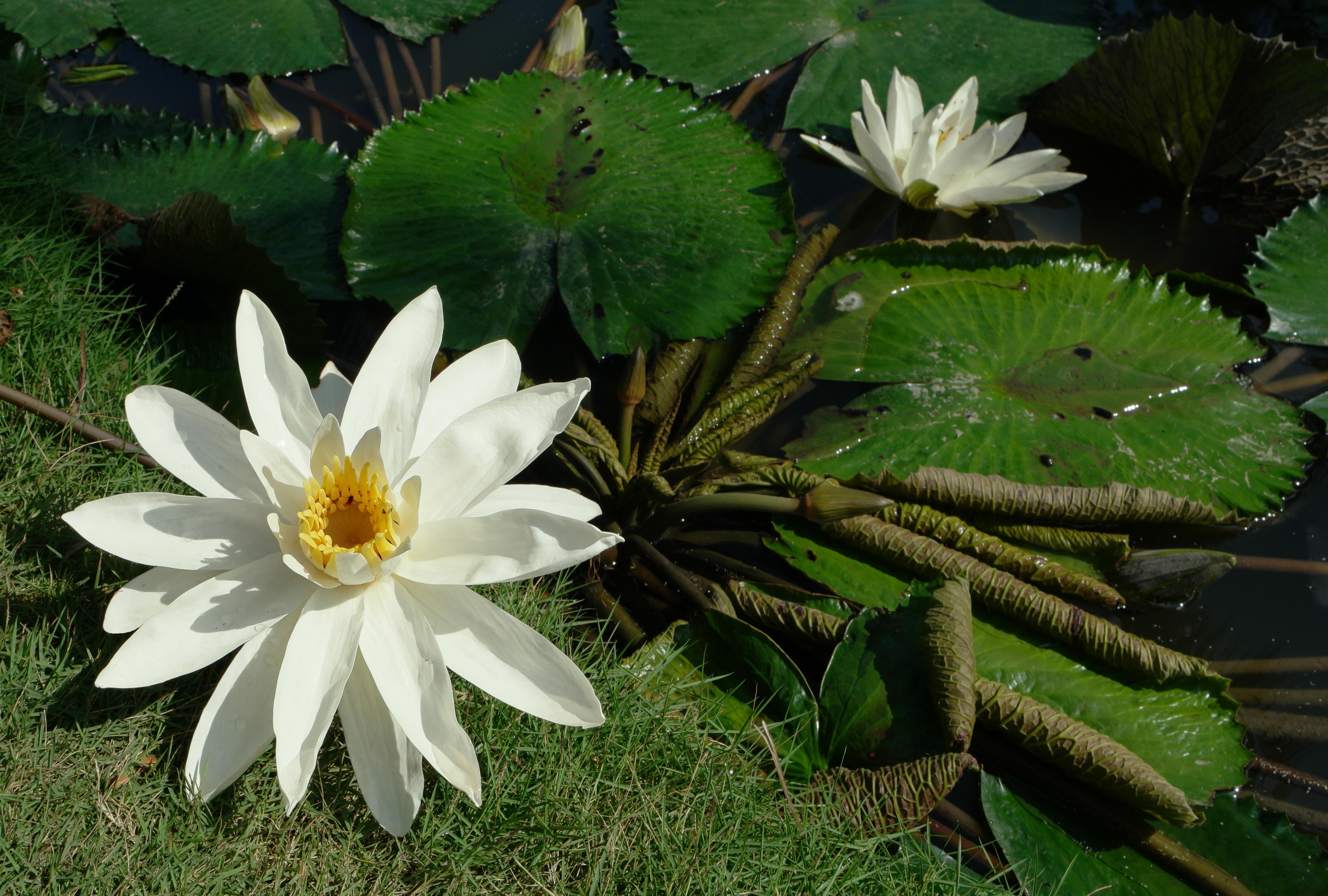 Fotos gratis : naturaleza, blanco, hoja, verde, botánica, jardín ...