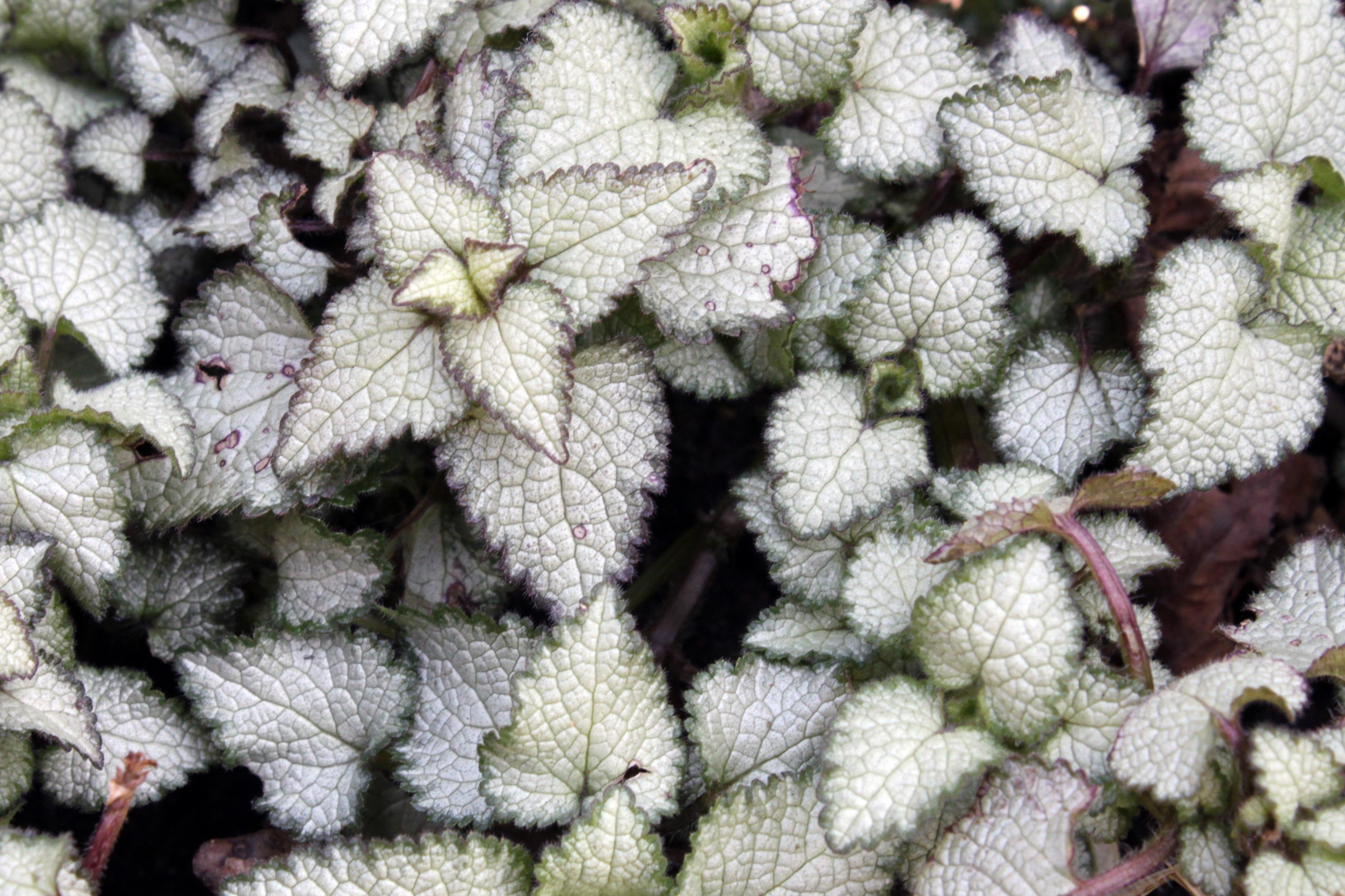 Kostenlose foto : Natur, Weiß, Textur, Blatt, Blume, lila, Frost ...