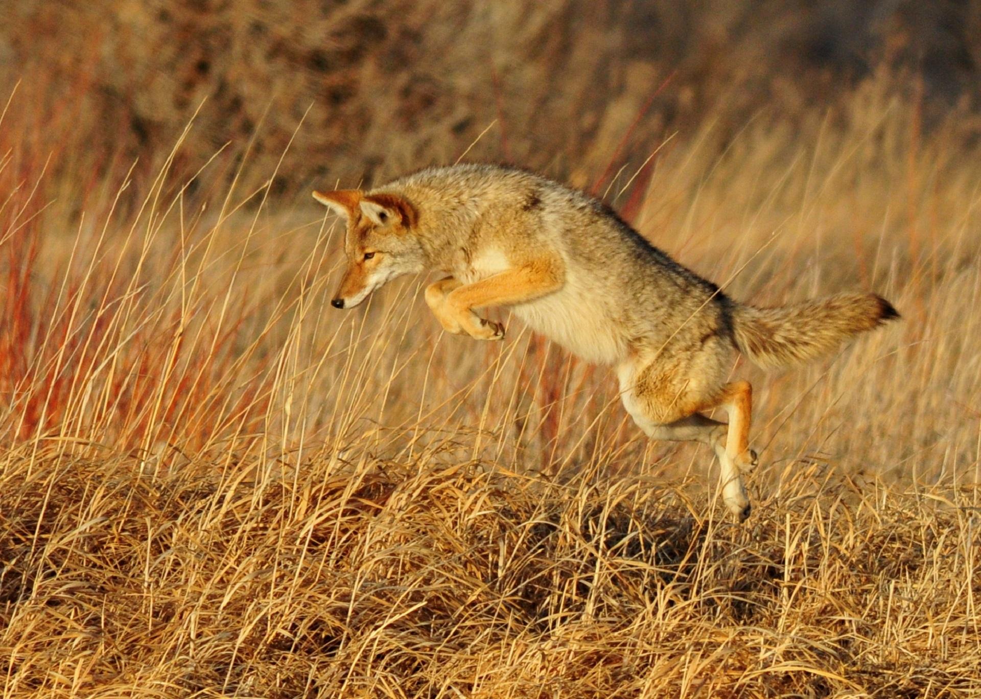 images gratuites la nature prairie faune portrait sc nique pr dateur coyote renard. Black Bedroom Furniture Sets. Home Design Ideas