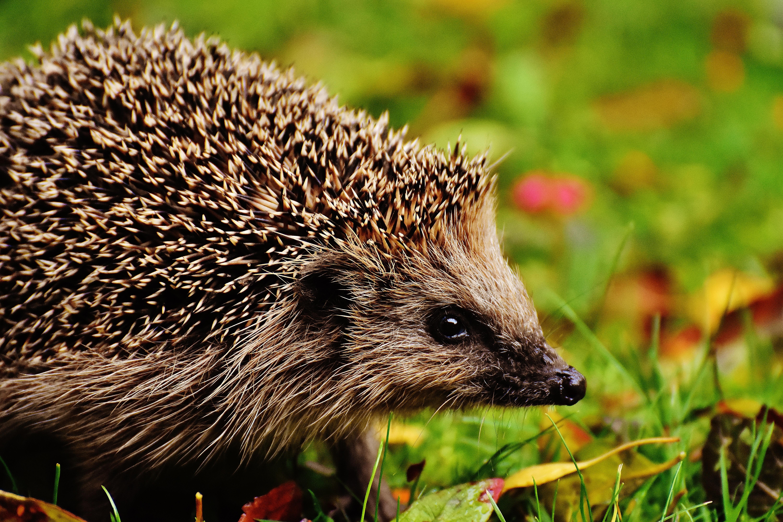 Favoriete Gratis Afbeeldingen : natuur, stekelig, dier, schattig, wildlife &TS06
