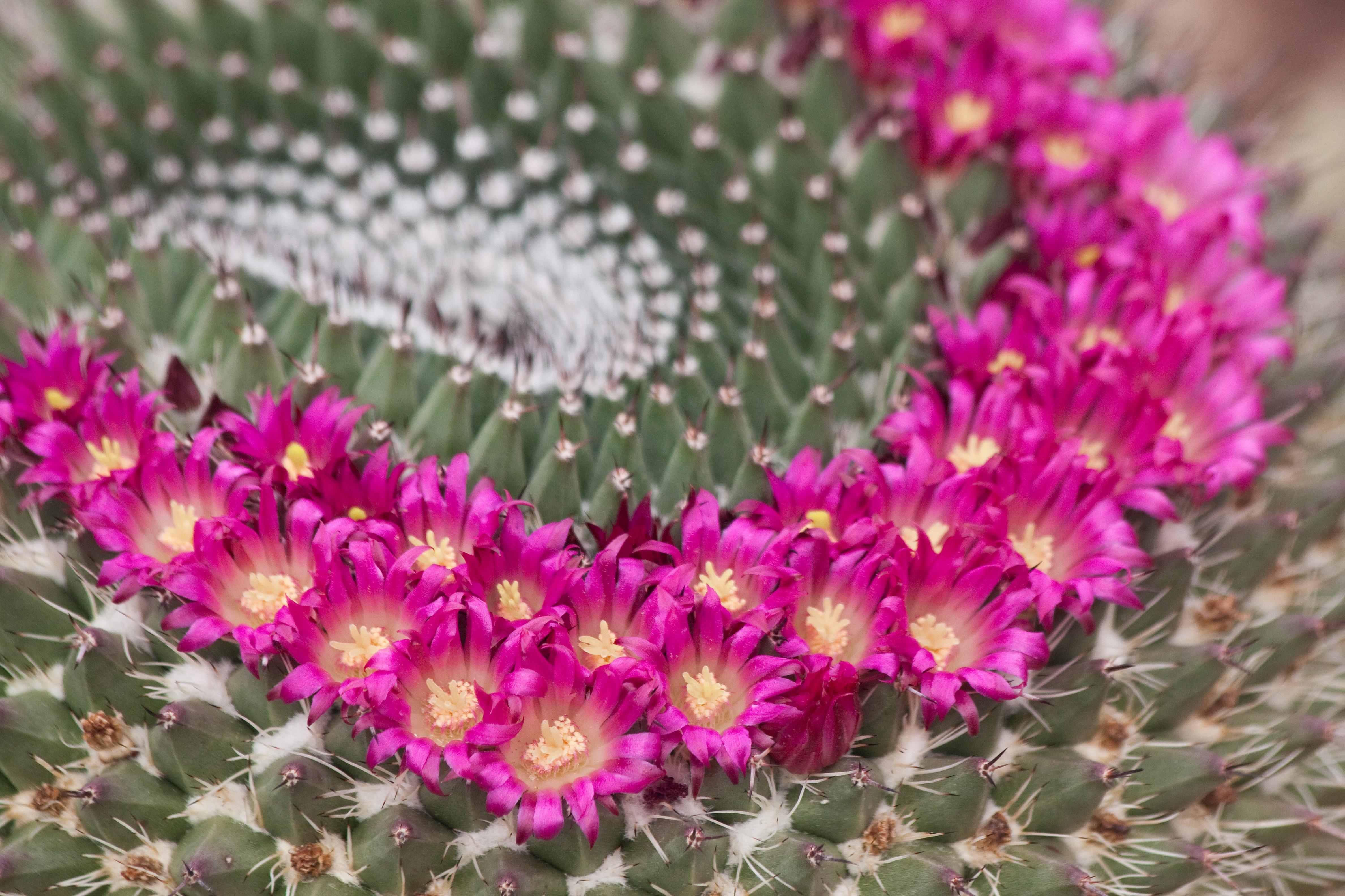 images gratuites : la nature, épineux, cactus, fleur, pétale