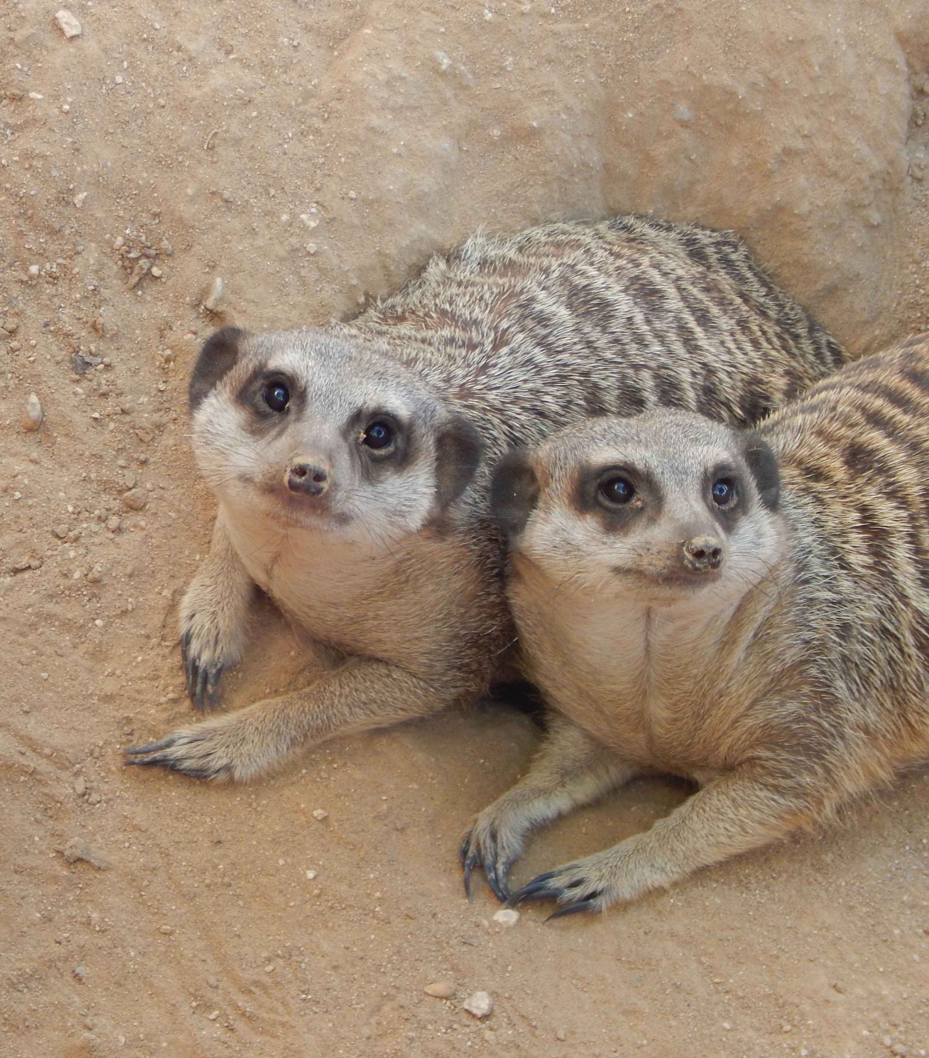 Meercat-Suricata suricatta encanto