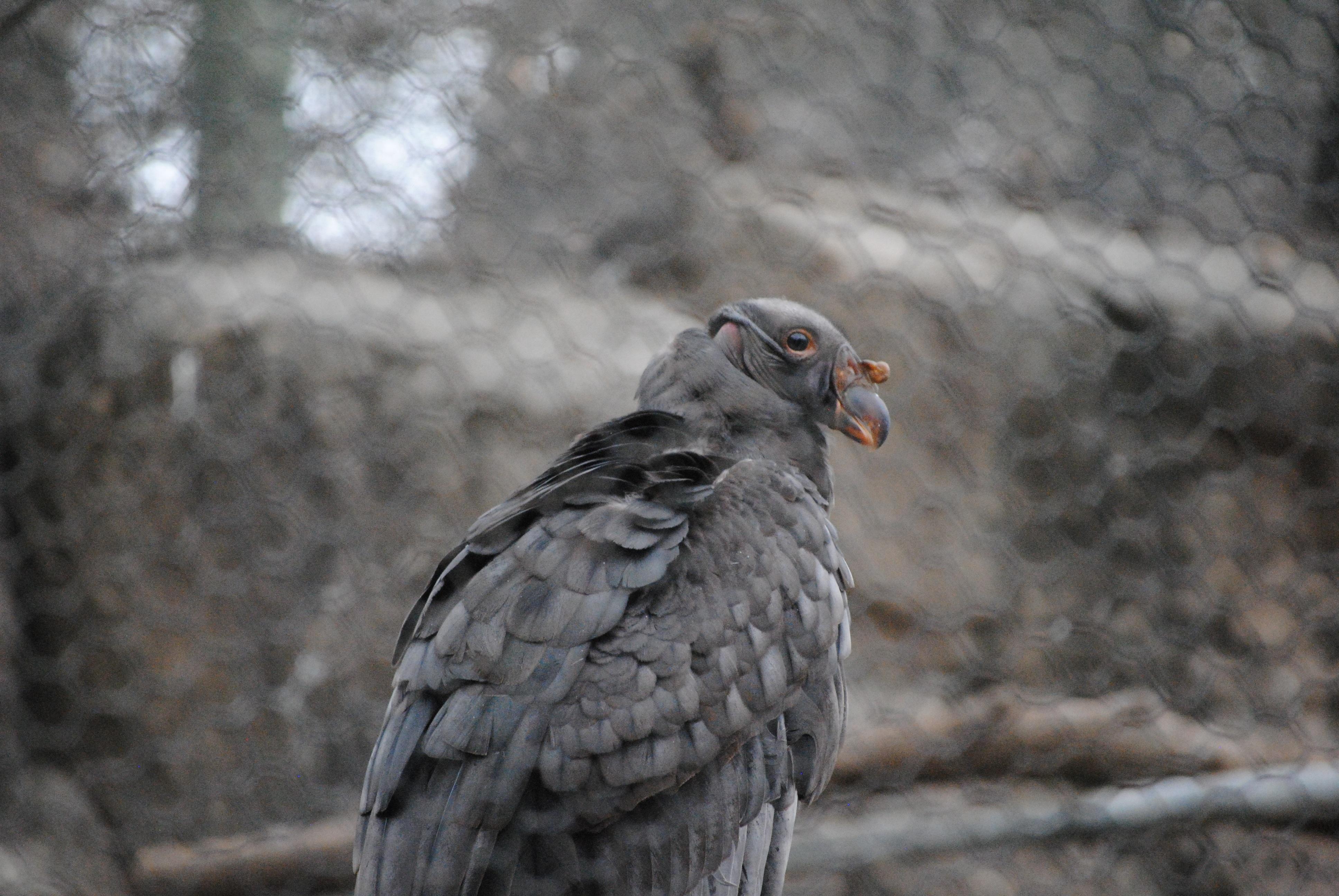 Kostenlose foto : Natur, Silhouette, Vogel, Flügel, Kette, Flucht ...
