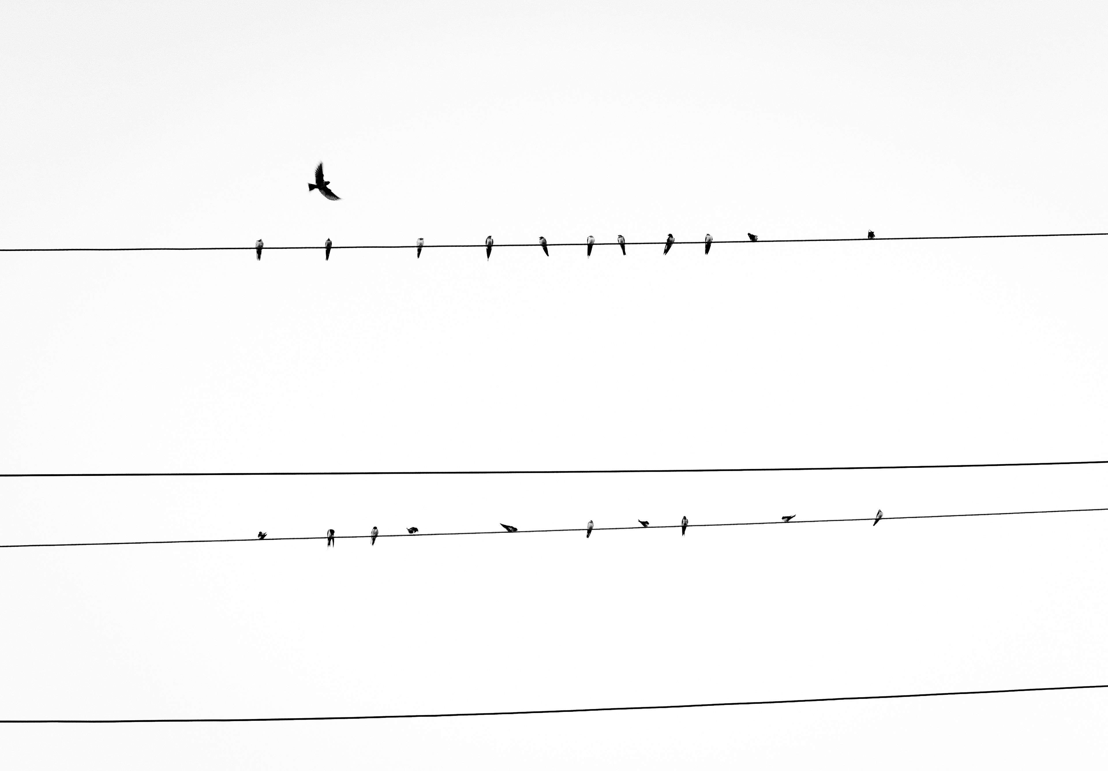 sky phone line wiring diagram free images nature  sky  technology  flock  wildlife  utility  sky  technology  flock  wildlife
