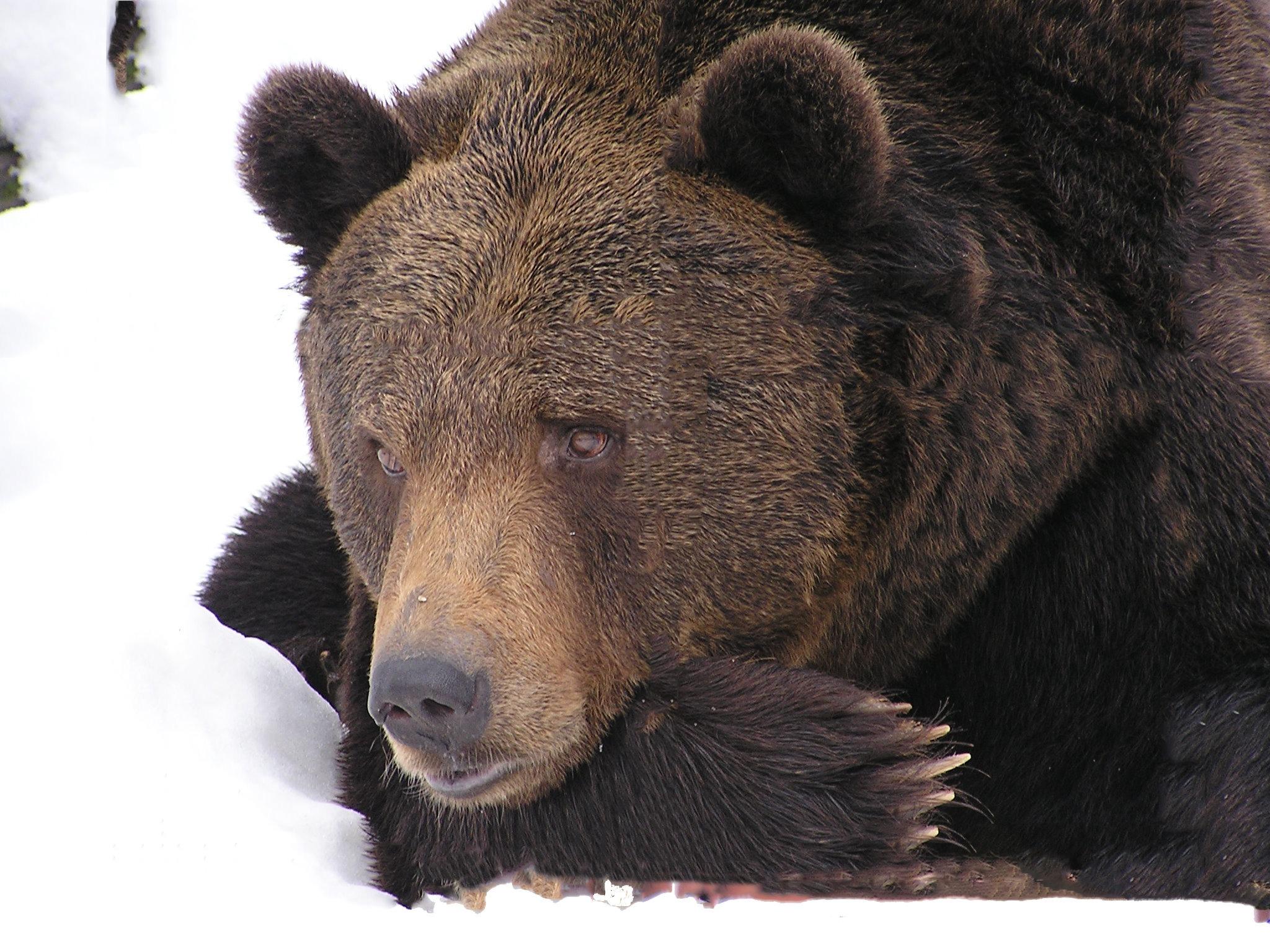 images gratuites la nature neige hiver animal faune. Black Bedroom Furniture Sets. Home Design Ideas