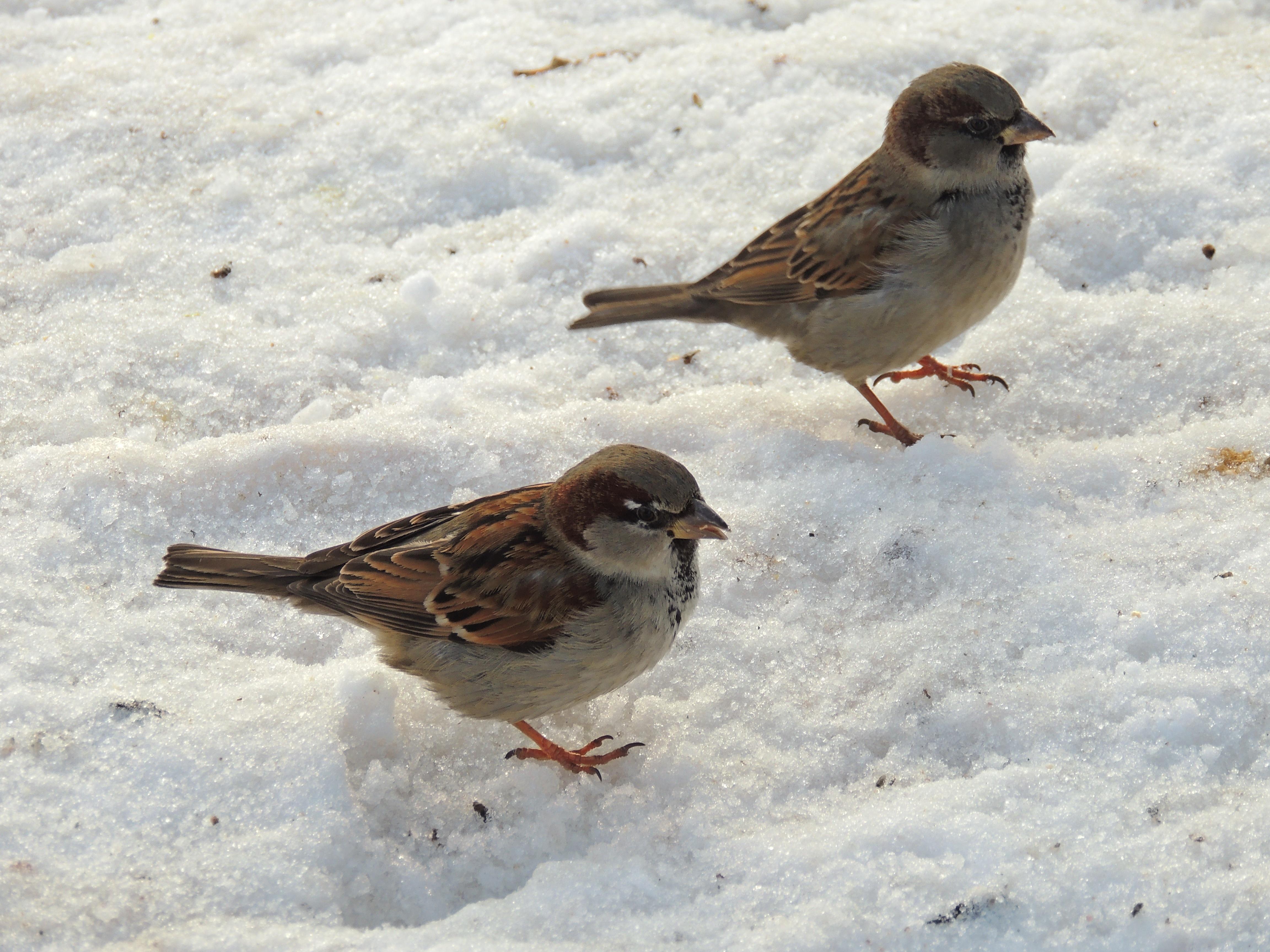 зимующие птицы картинка воробей козлика подберите цене