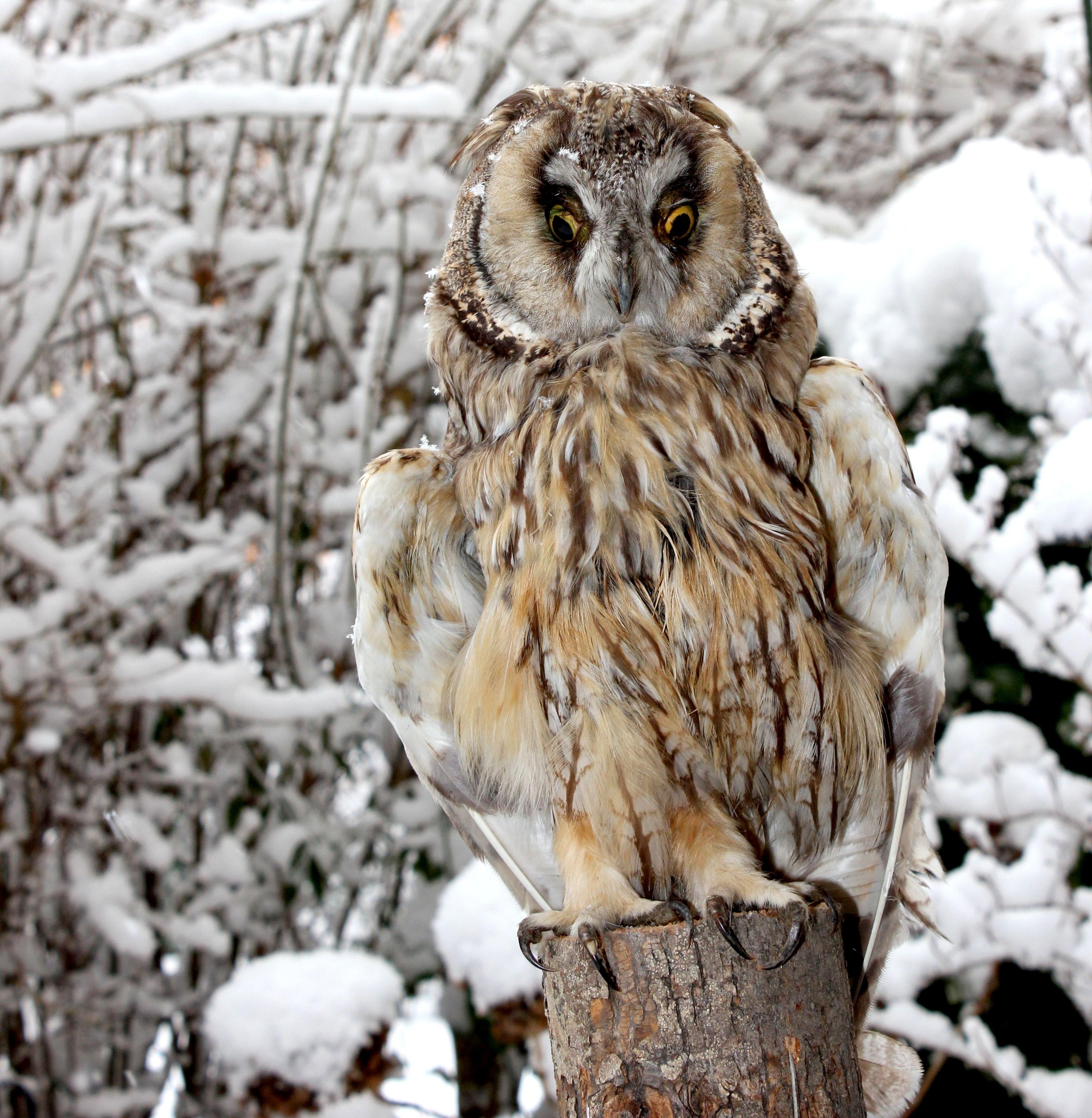 картинки совы зимой в лесу дате открытия сообщим