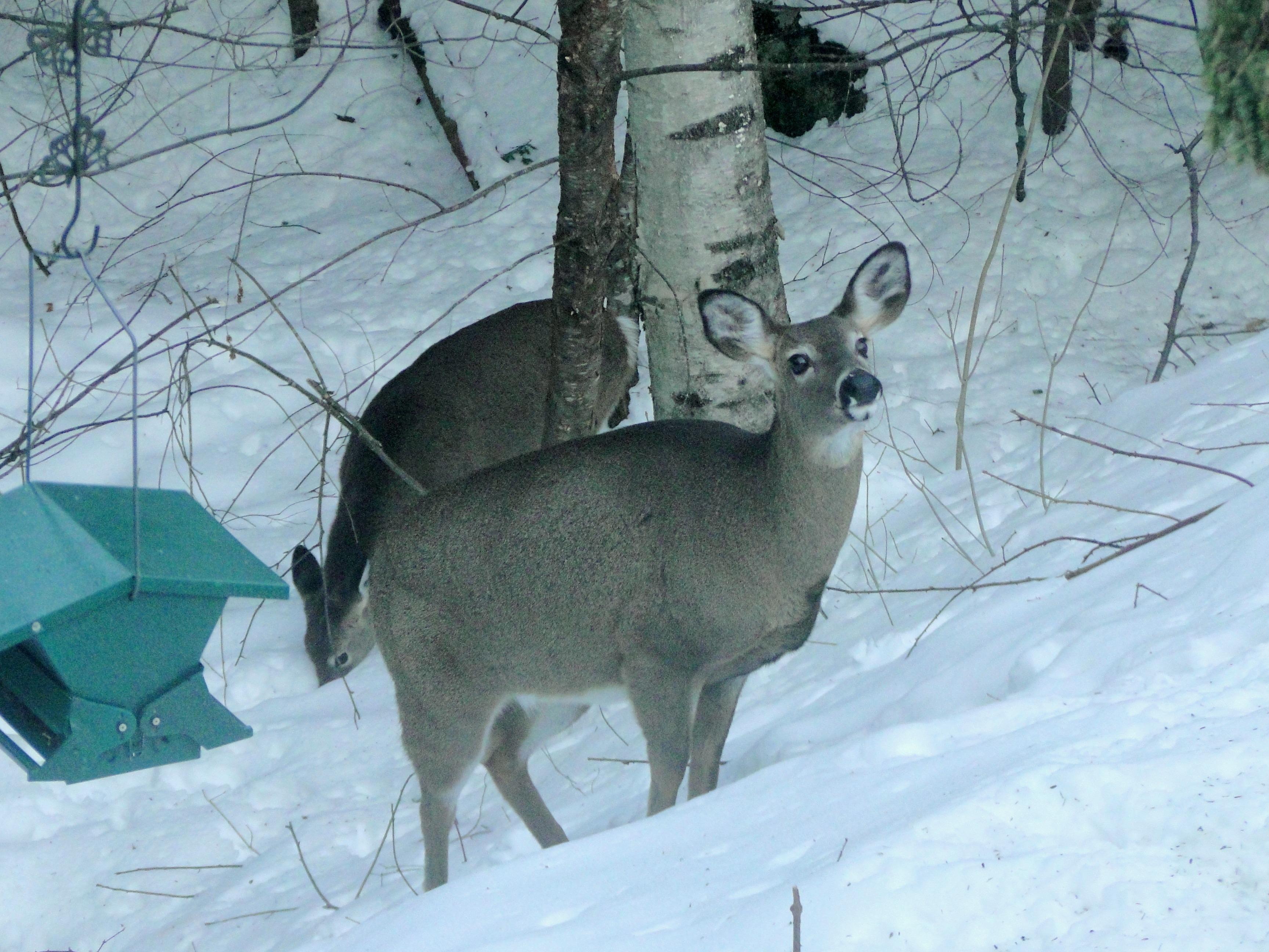 free images nature snow winter wildlife backyard mammal