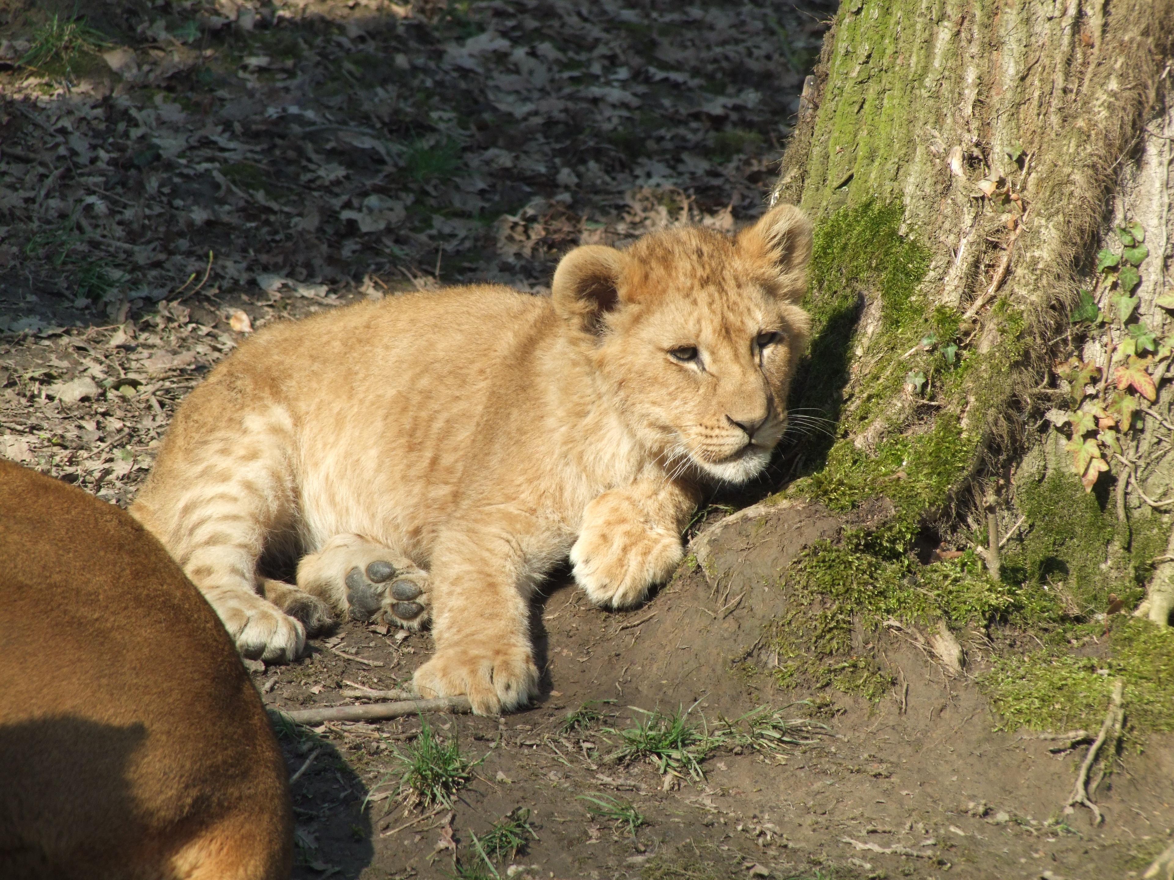 kostenlose foto natur sonne tierwelt zoo baby fauna l we faul tiere wirbeltier cub. Black Bedroom Furniture Sets. Home Design Ideas