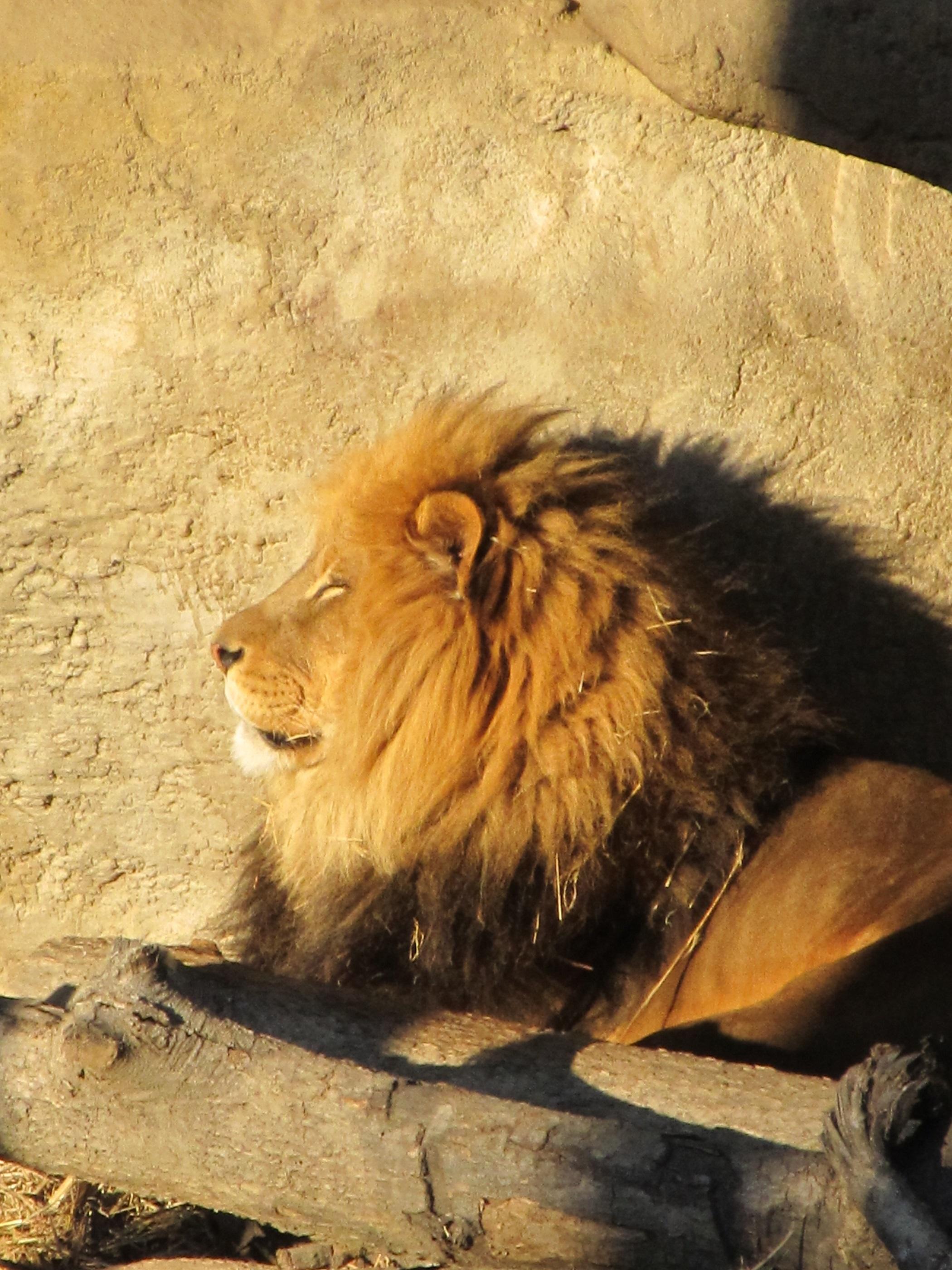 Кот с тенью льва