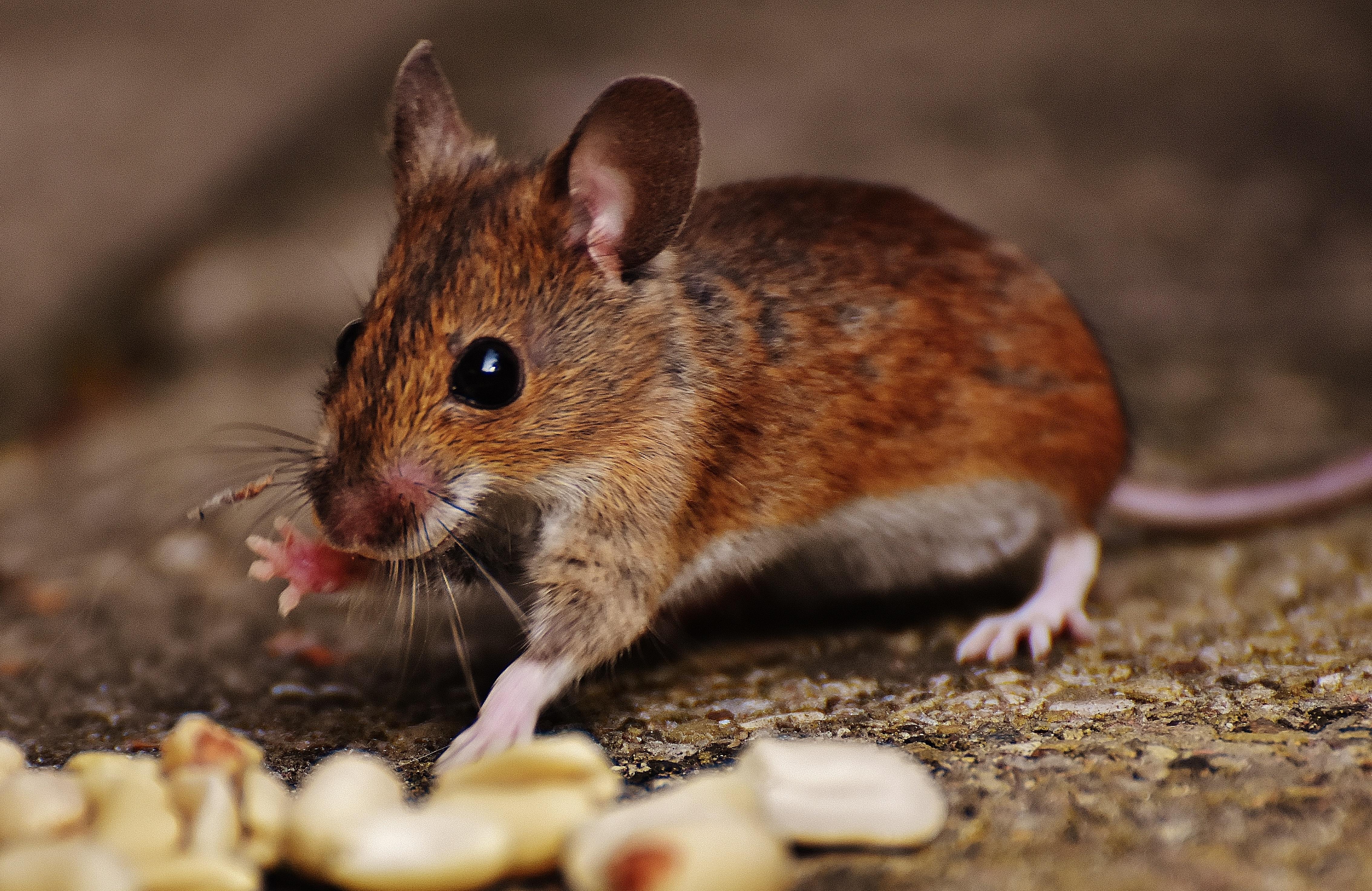 420 Koleksi Gambar Hewan Tikus Tanah HD Terbaik