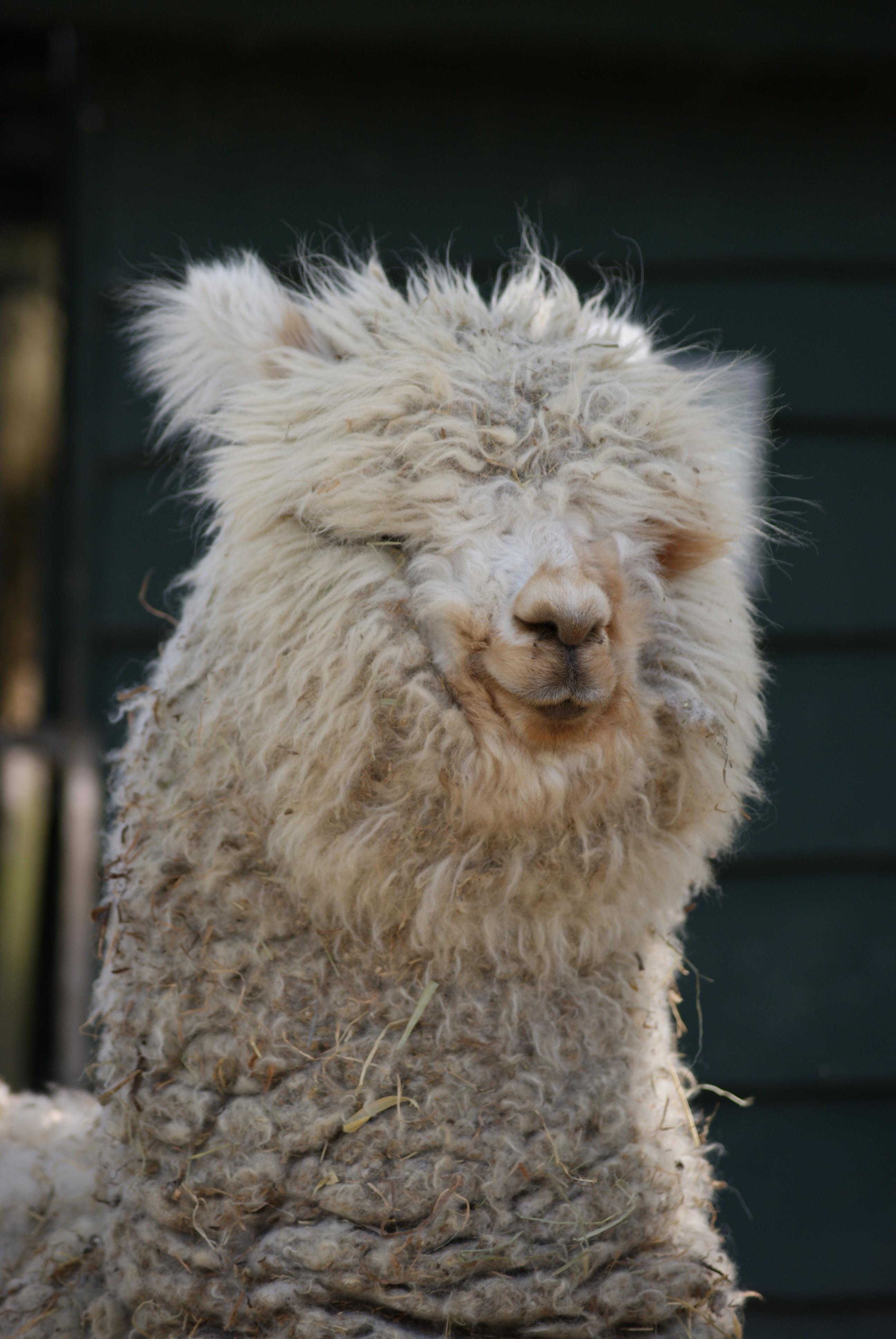 hình ảnh : thiên nhiên, ngọt, Cừu, Động vật có vú, Bờm, Llama, Alpaca, nước  Hà Lan, Động vật có xương sống, những con cừu, Lạc đà như động vật có vú,  ...