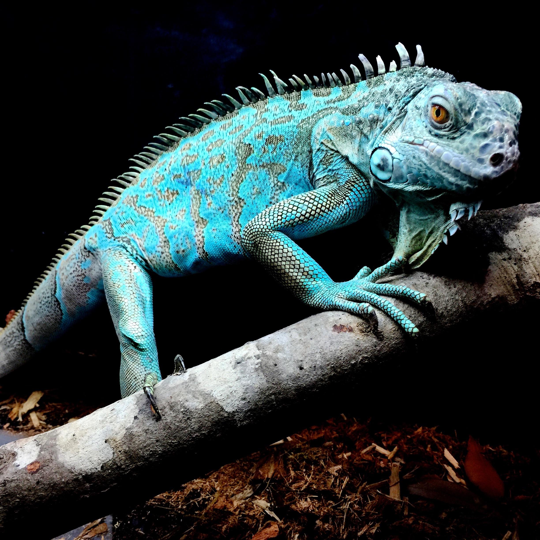 Free Images : Nature, Tropical, Blue, Iguana, Fauna