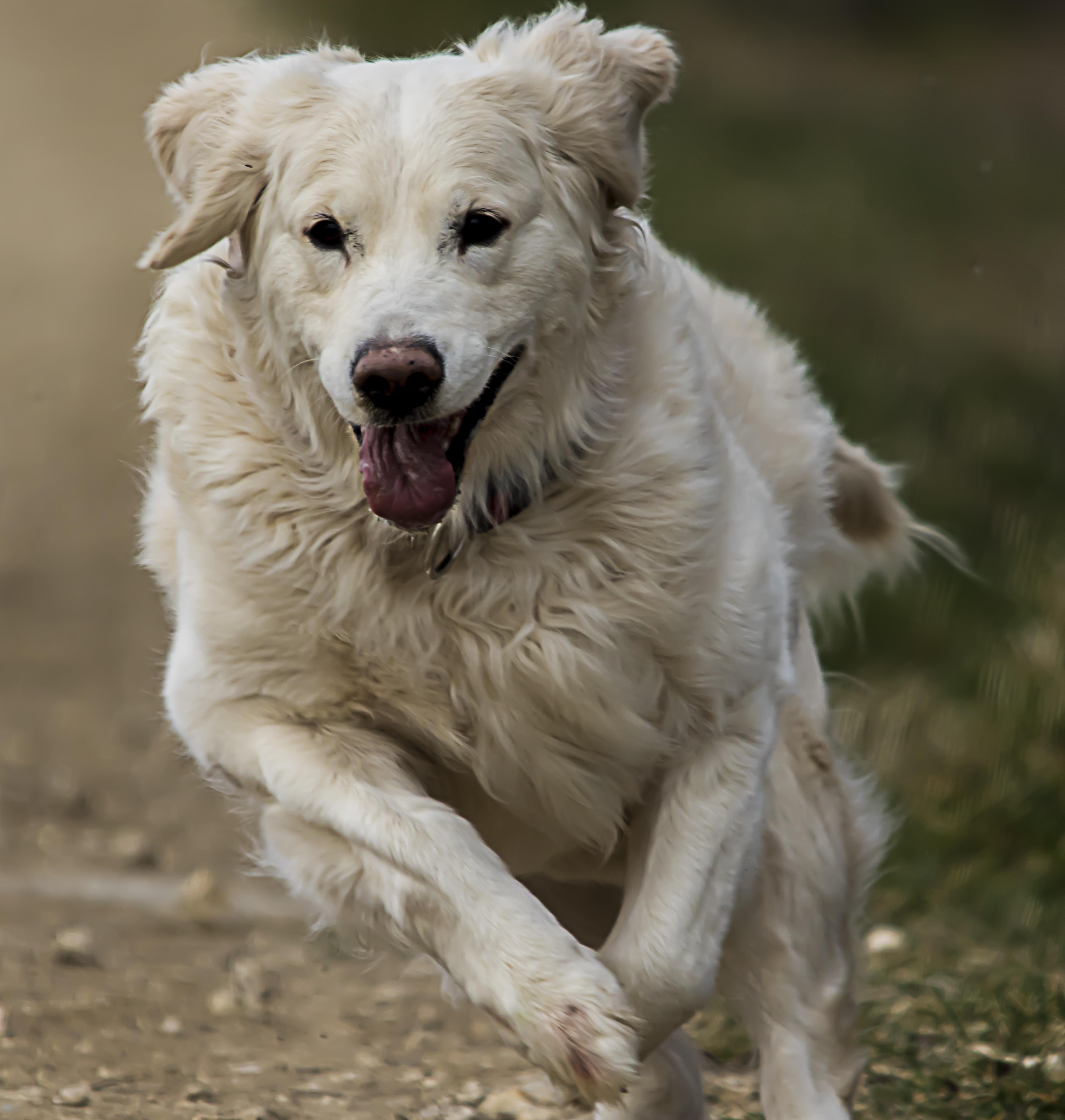 Anjing Golden Retriever Putih