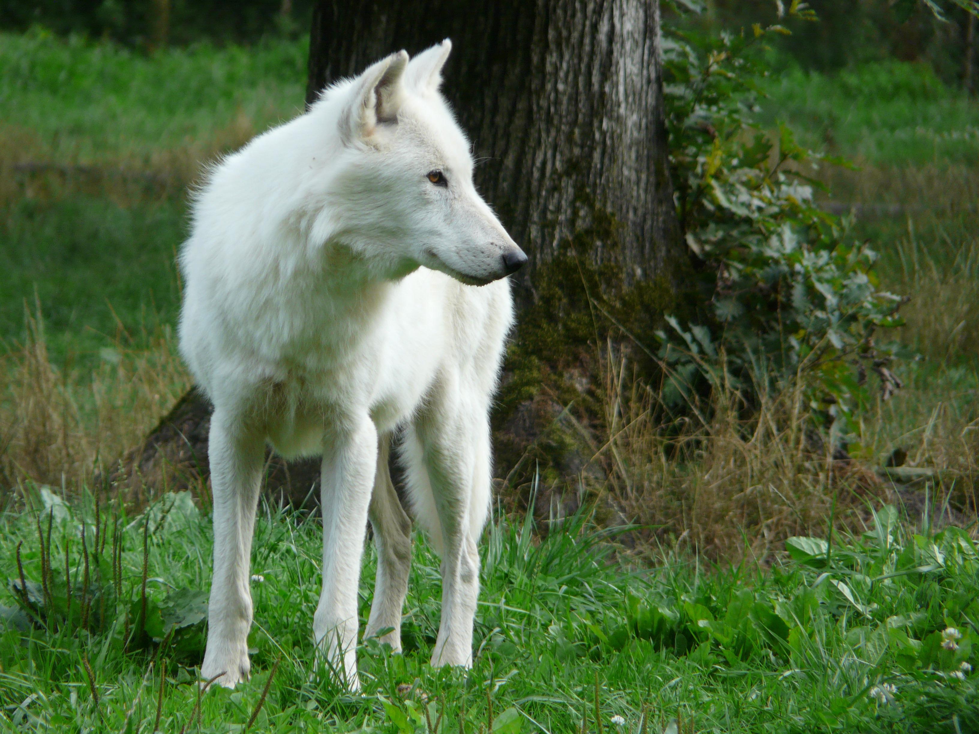 Free Images : nature, wolf, vertebrate, carnivore, white