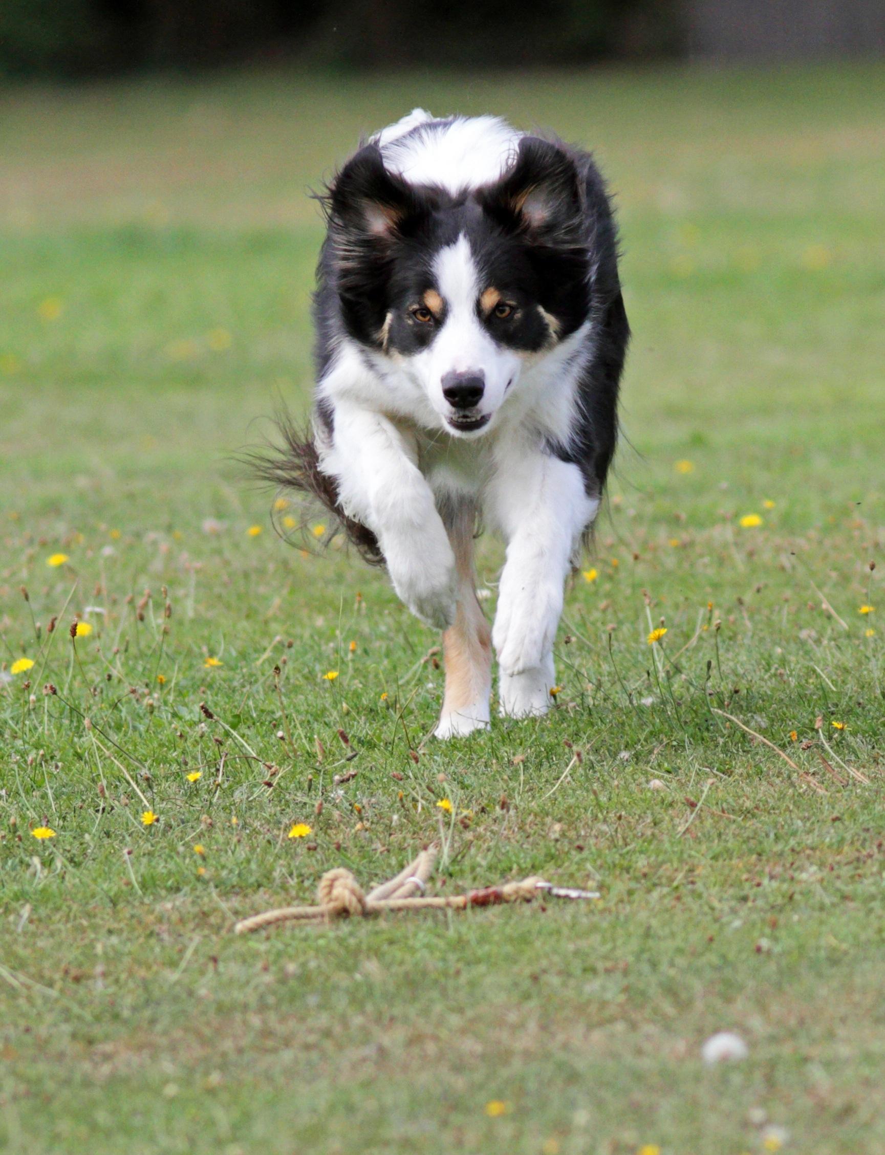 Great Papillon Canine Adorable Dog - nature-white-running-puppy-dog-cute-collie-young-brown-mammal-ear-spaniel-border-collie-face-background-happy-eye-head-vertebrate-papillon-image-fast-adorable-curious-dog-breed-australian-shepherd-dog-like-mammal-carnivoran-dog-breed-group-miniature-australian-shepherd-phalene-641057  2018_797891  .jpg