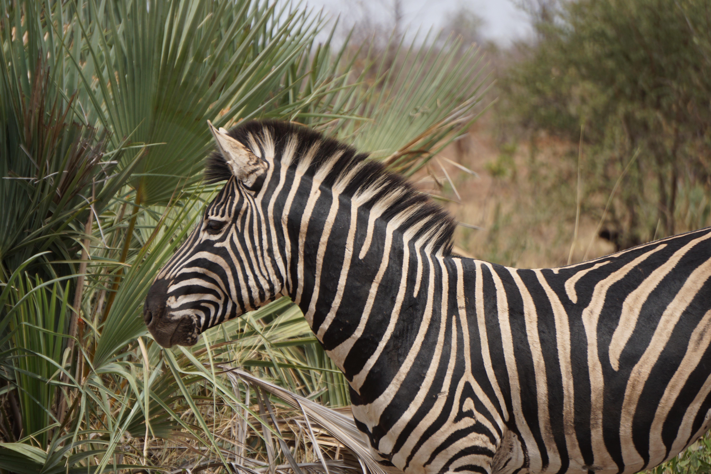 zebra wildlife south africa - HD1200×800