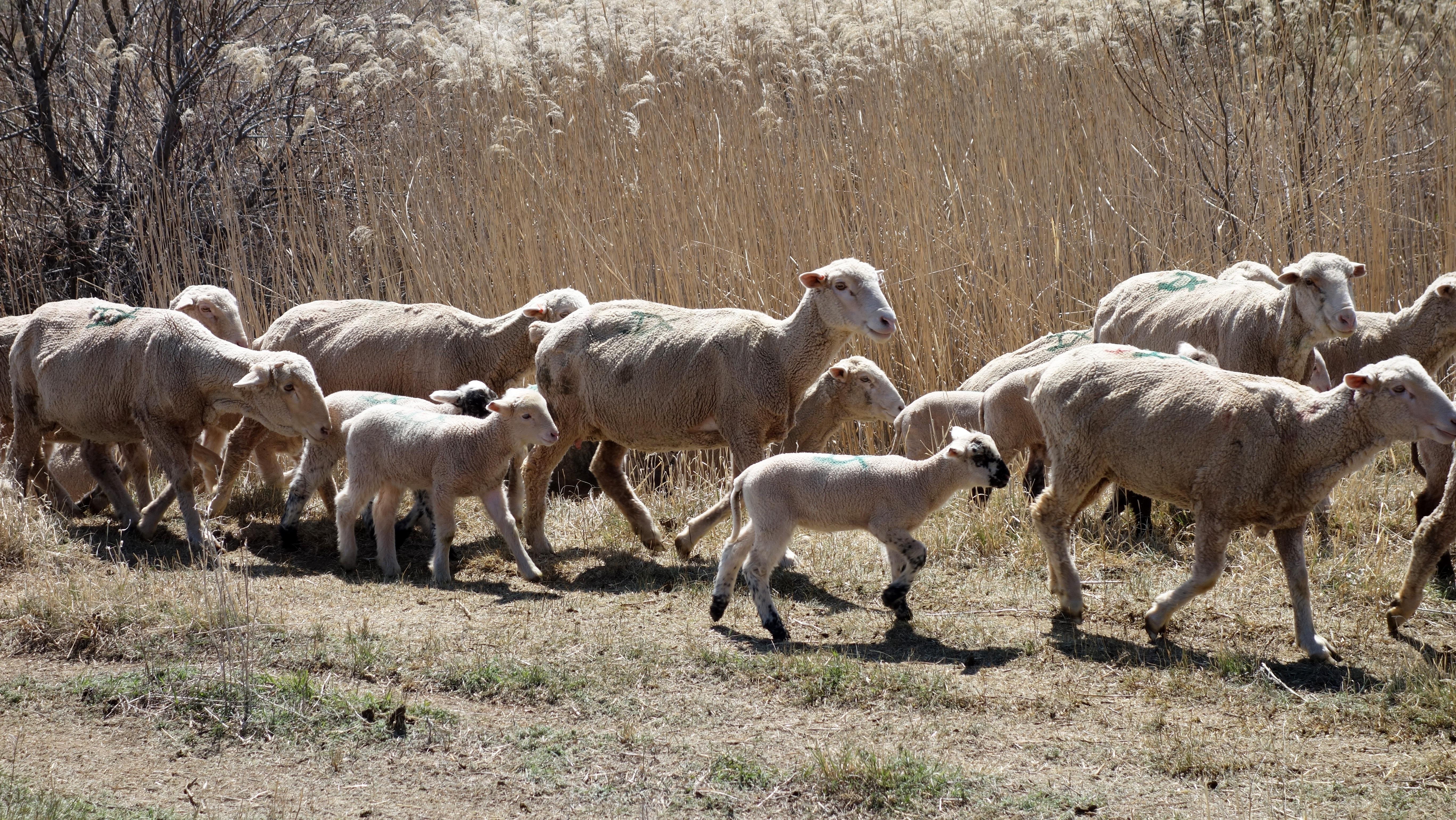 Images gratuites la nature faune ch vre p turage - Photos de moutons gratuites ...
