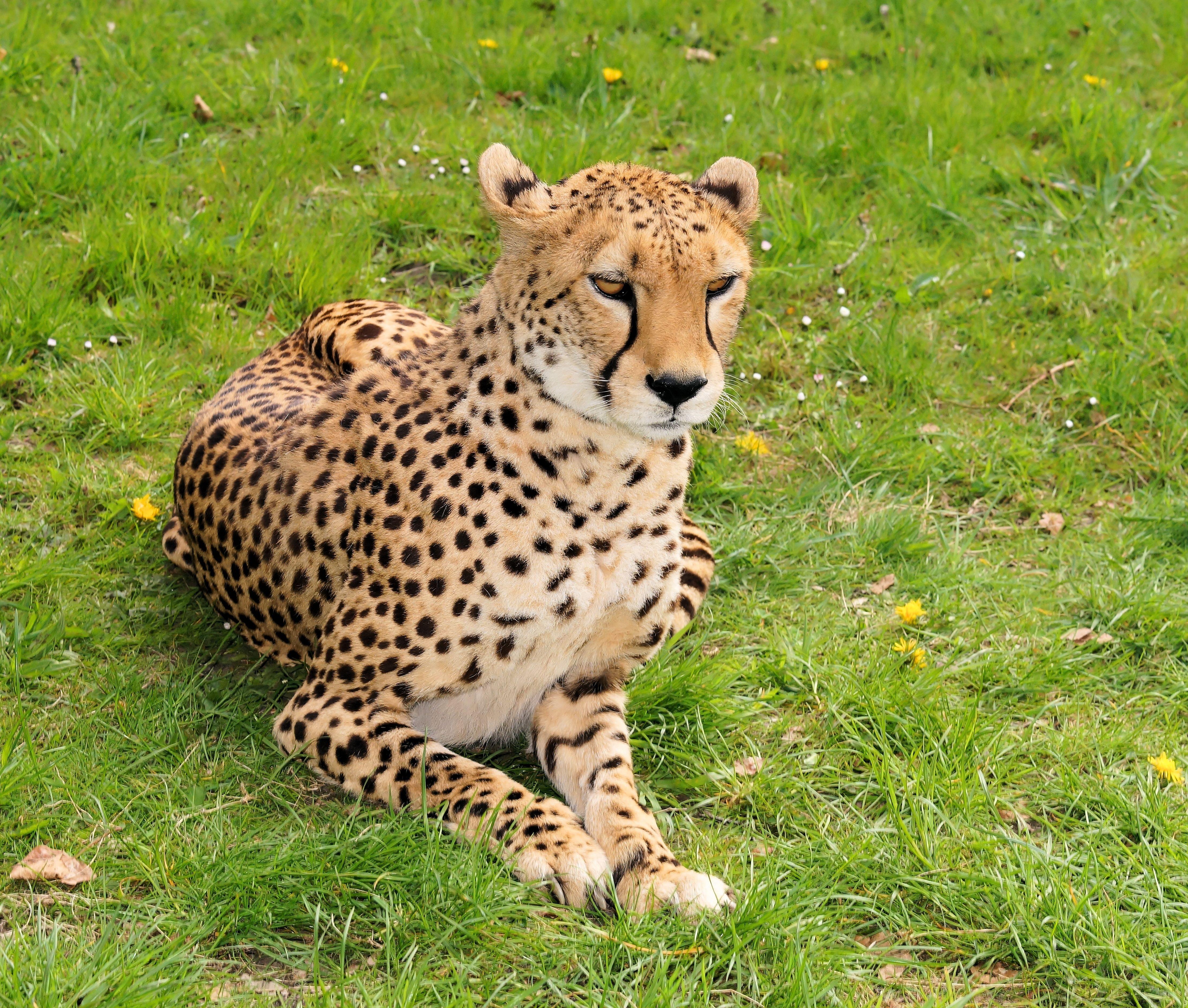 Фурри пятнистый гепард фото 242-213