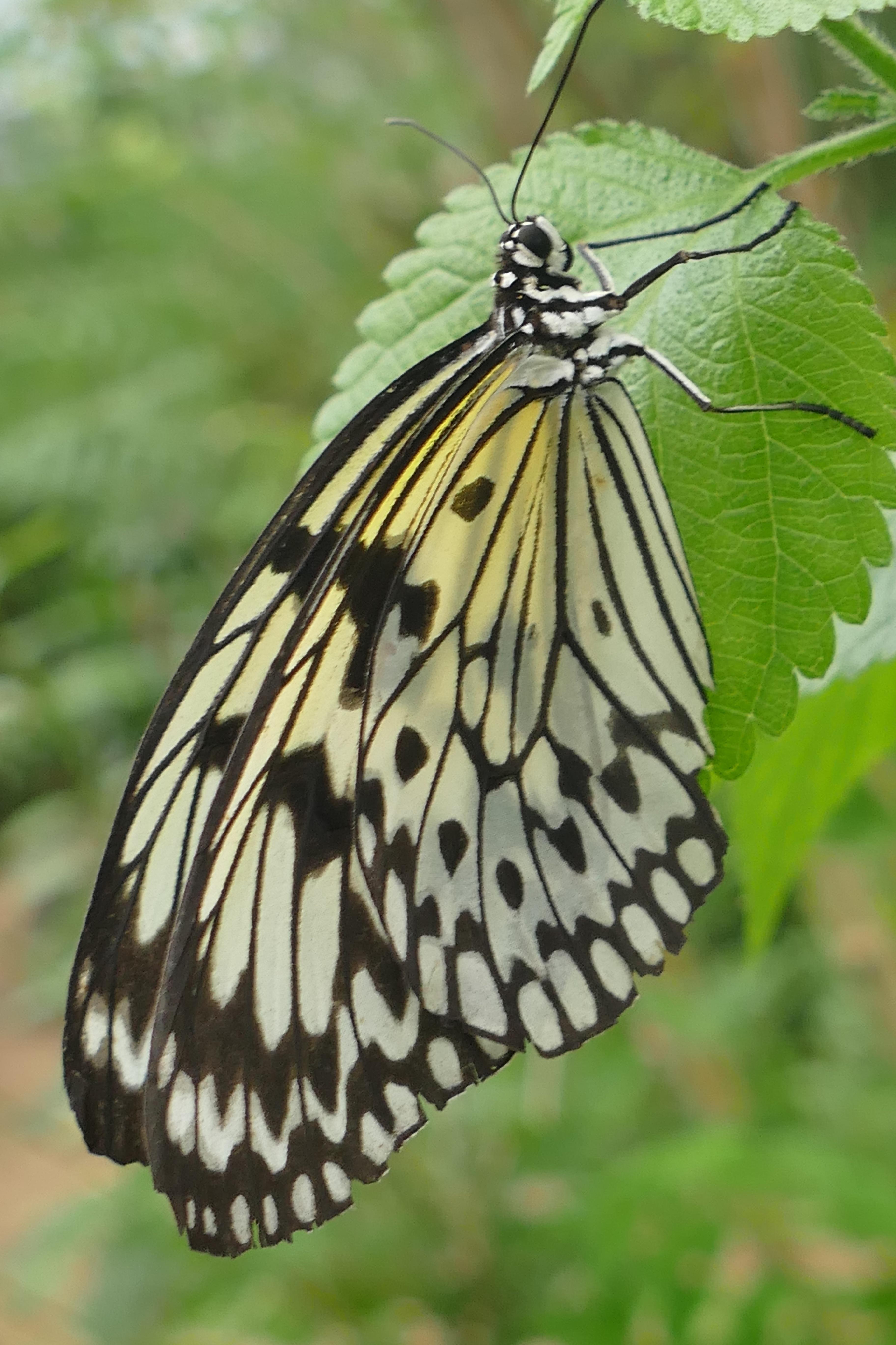Images gratuites la nature aile noir et blanc feuille - Modele papillon ...
