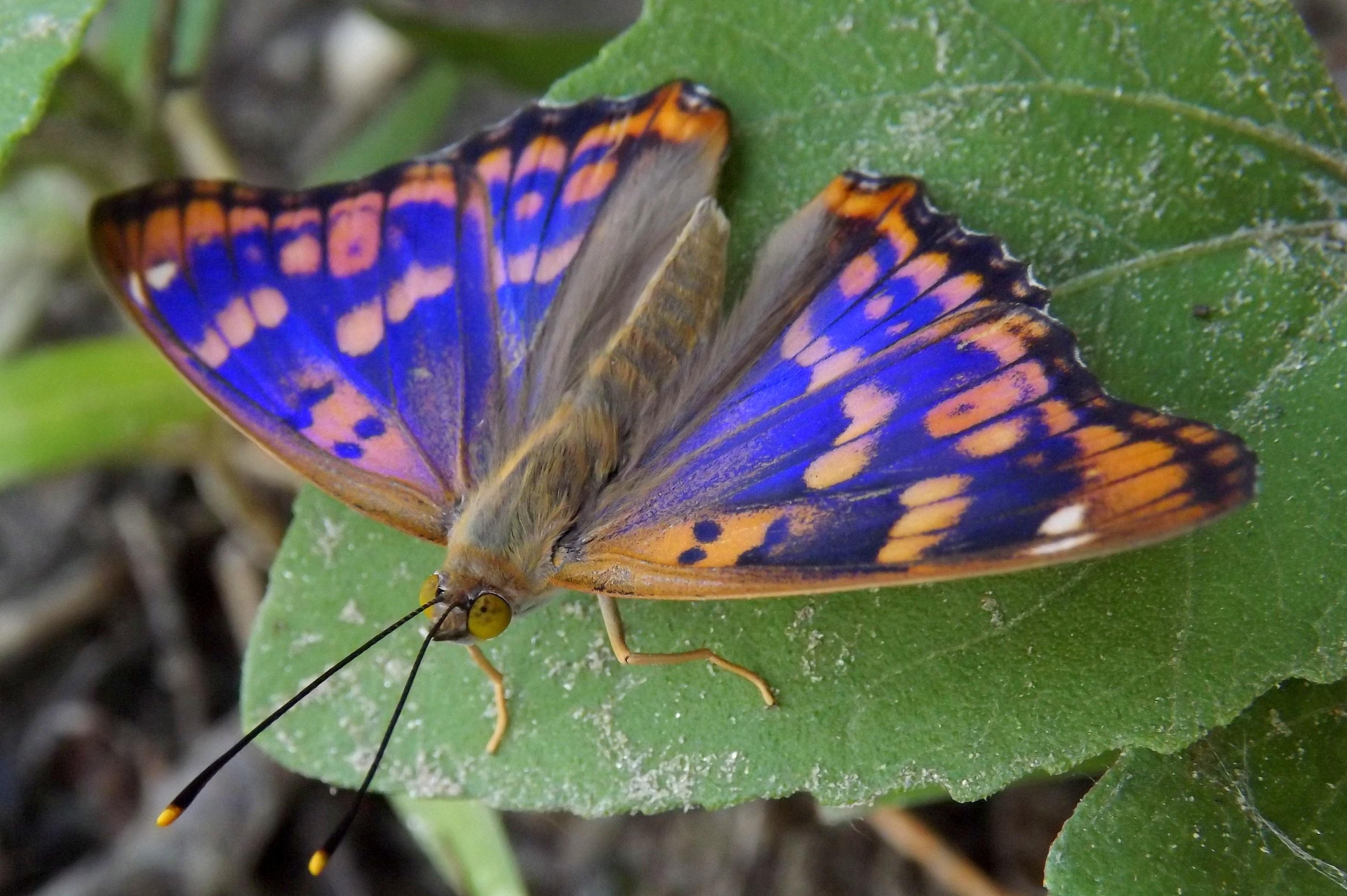 Fotoğraf Doğa Kanat Yaprak çiçek Böcek Mavi Fauna Omurgasız