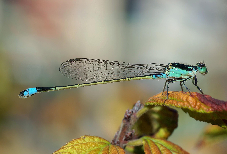 Gambar Alam Sayap Wanita Hijau Fauna Invertebrata