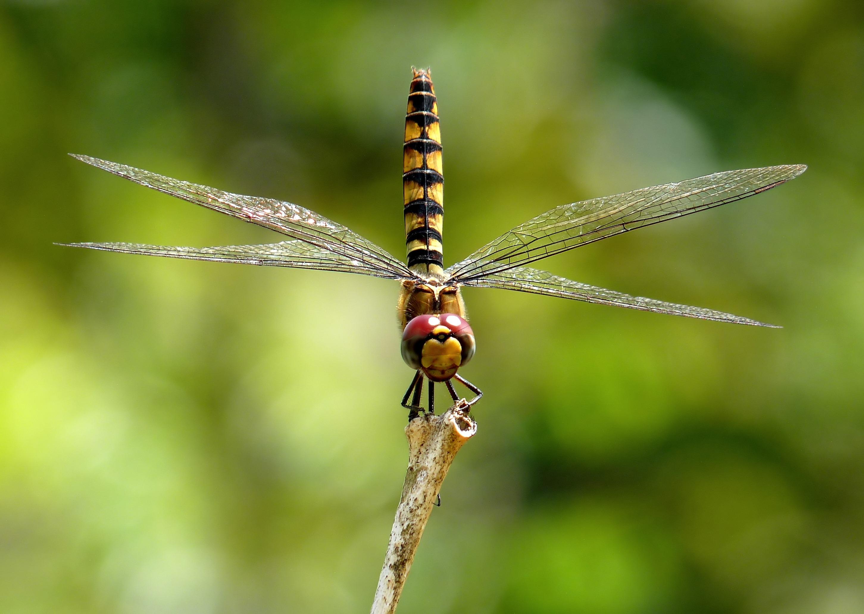 Fotos gratis : naturaleza, ala, fotografía, hembra, insecto, fauna ...