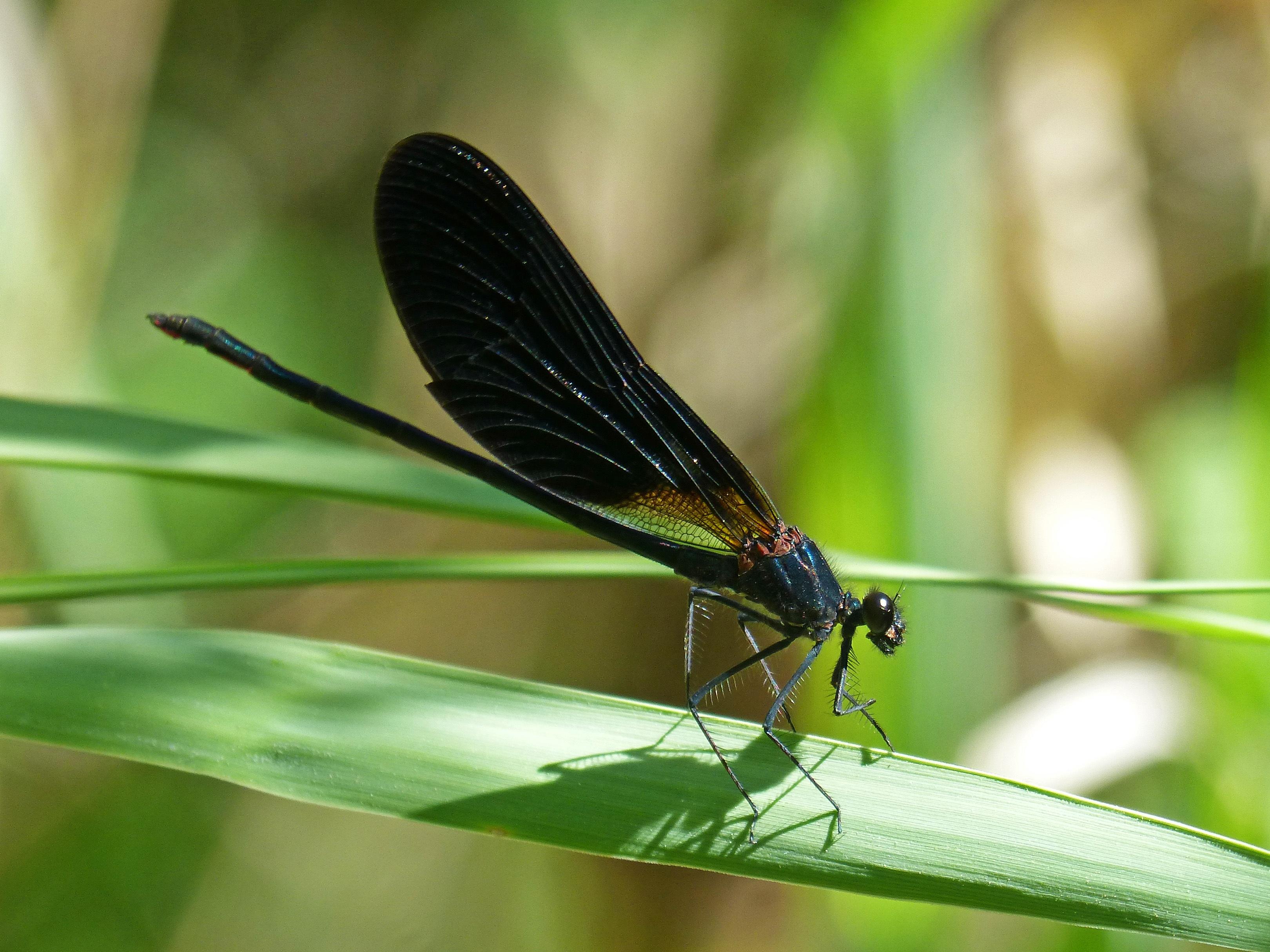 насекомое стрекоза картинки уже
