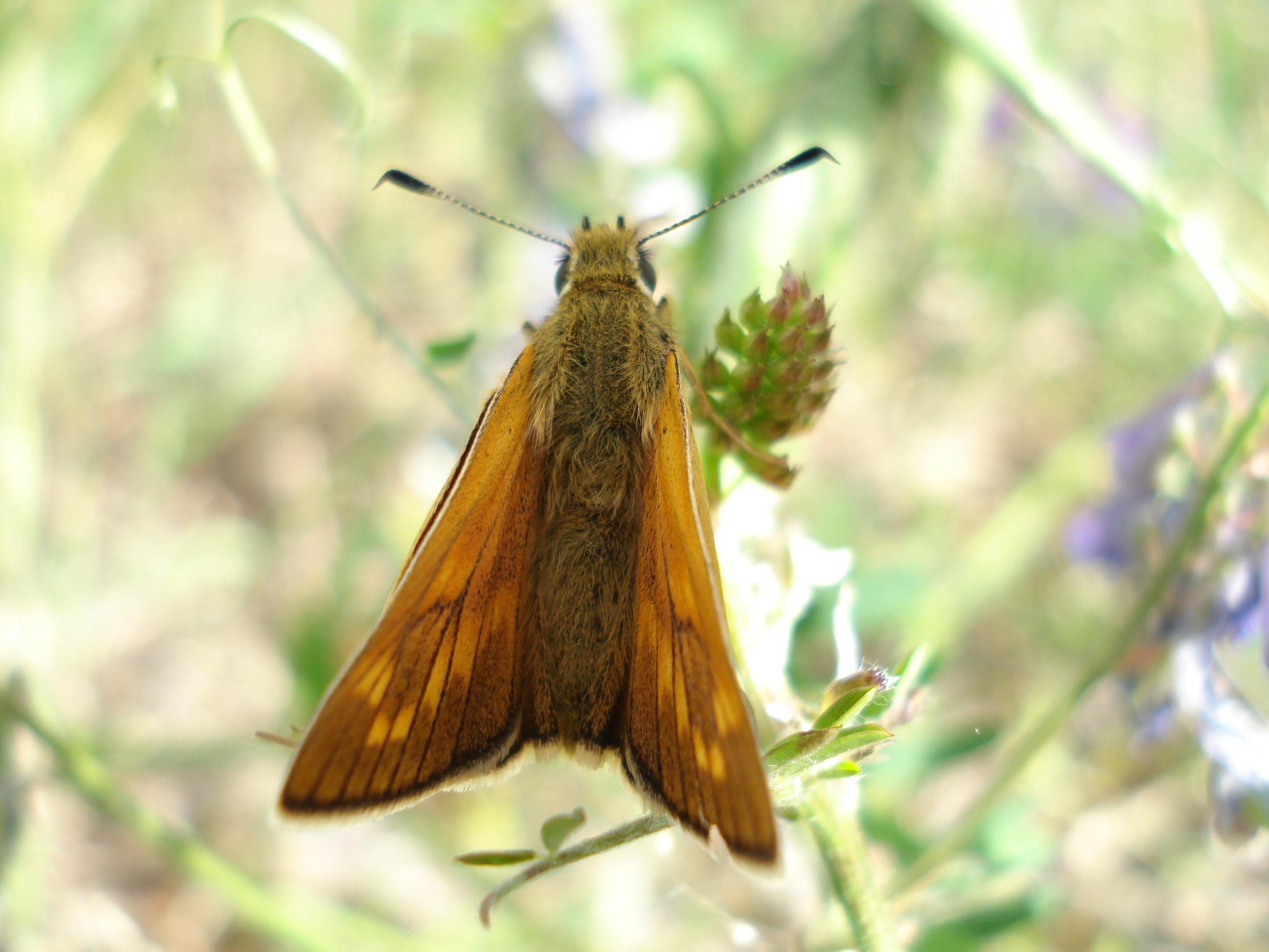 Fotoğraf Doğa Kanat çayır çiçek Vahşi Hayat Portakal Böcek